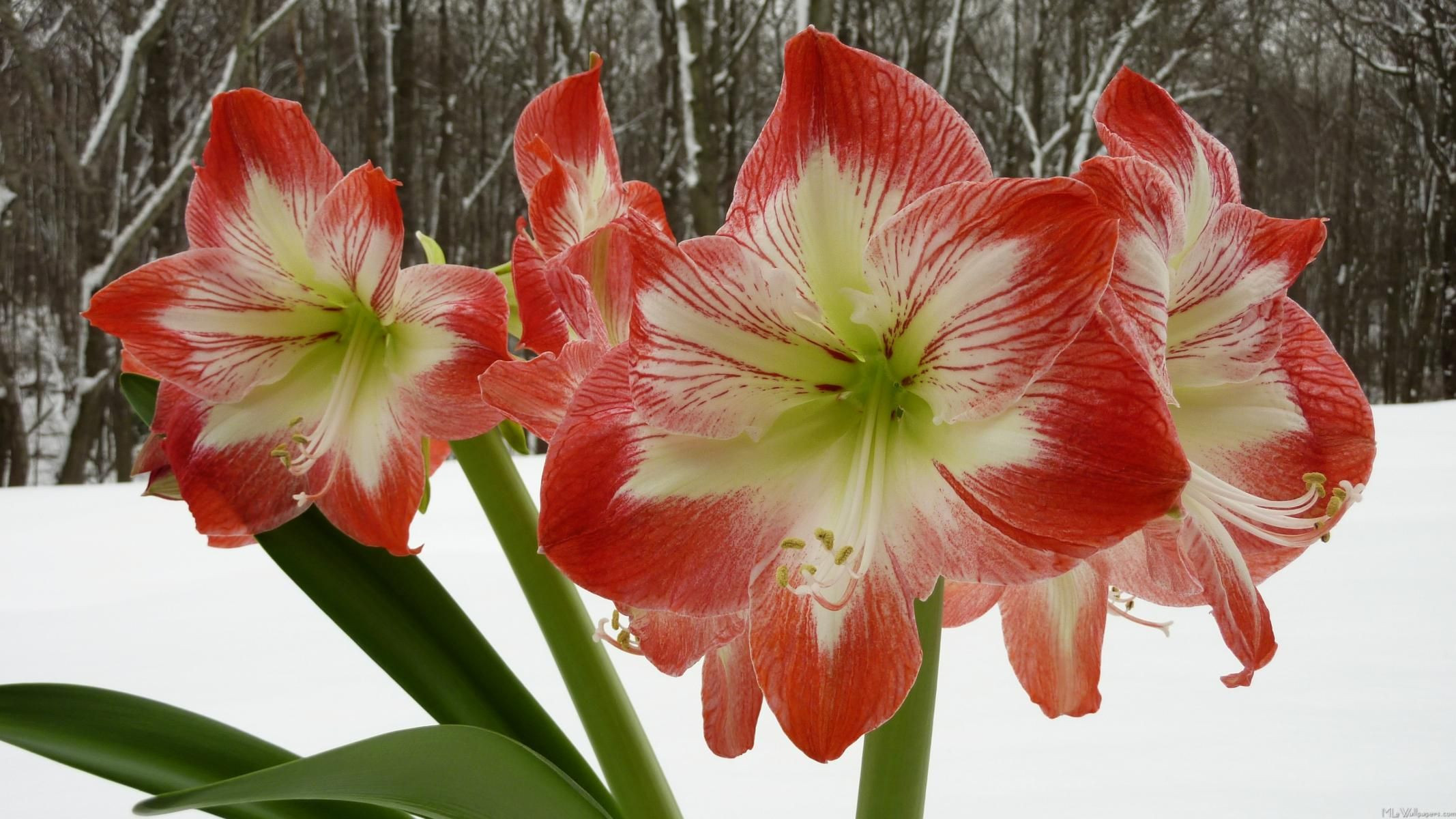 Amaryllis indoor winter bloomer