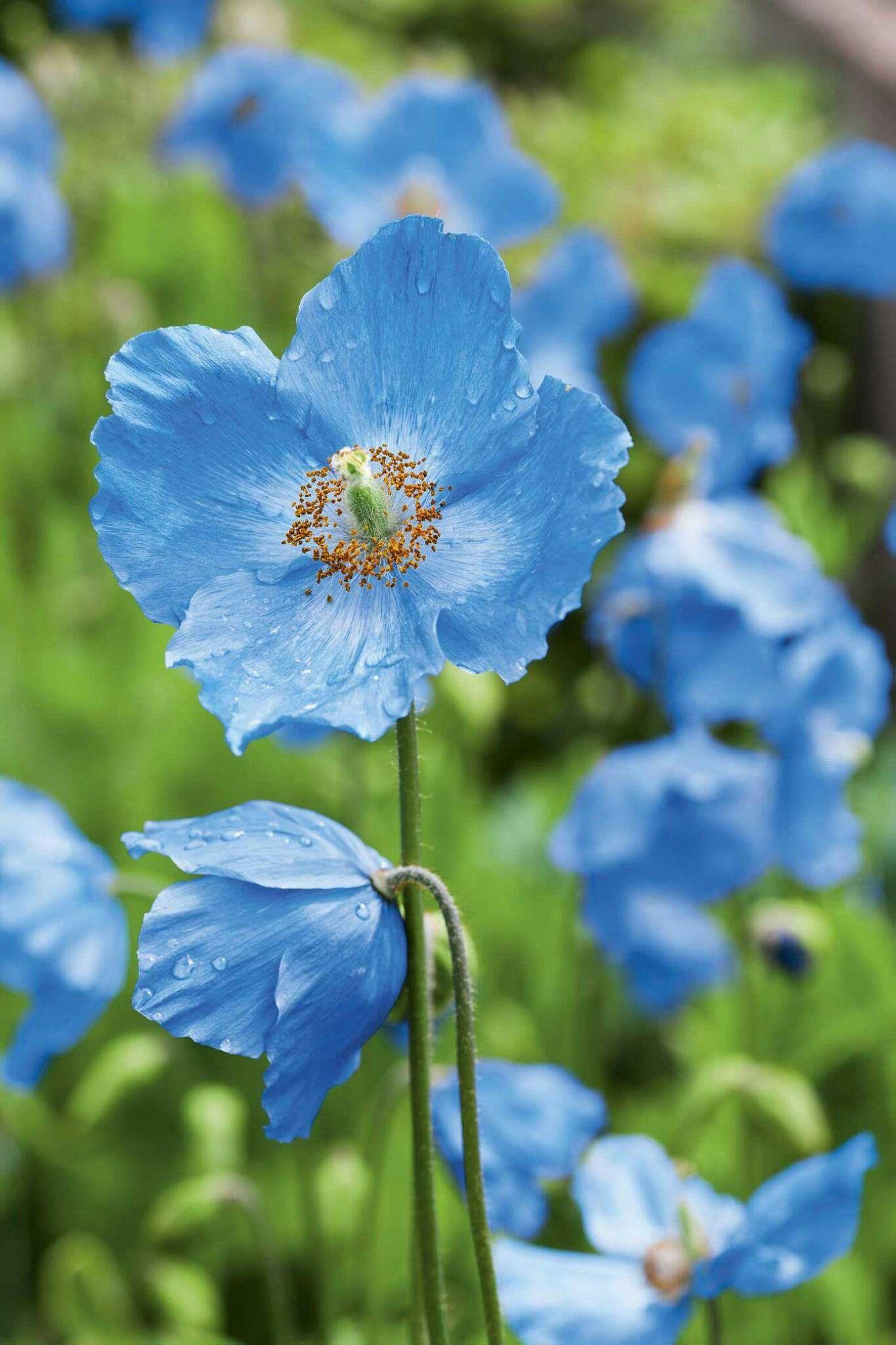 Anemone poppy blue flowers 3 Pinterest