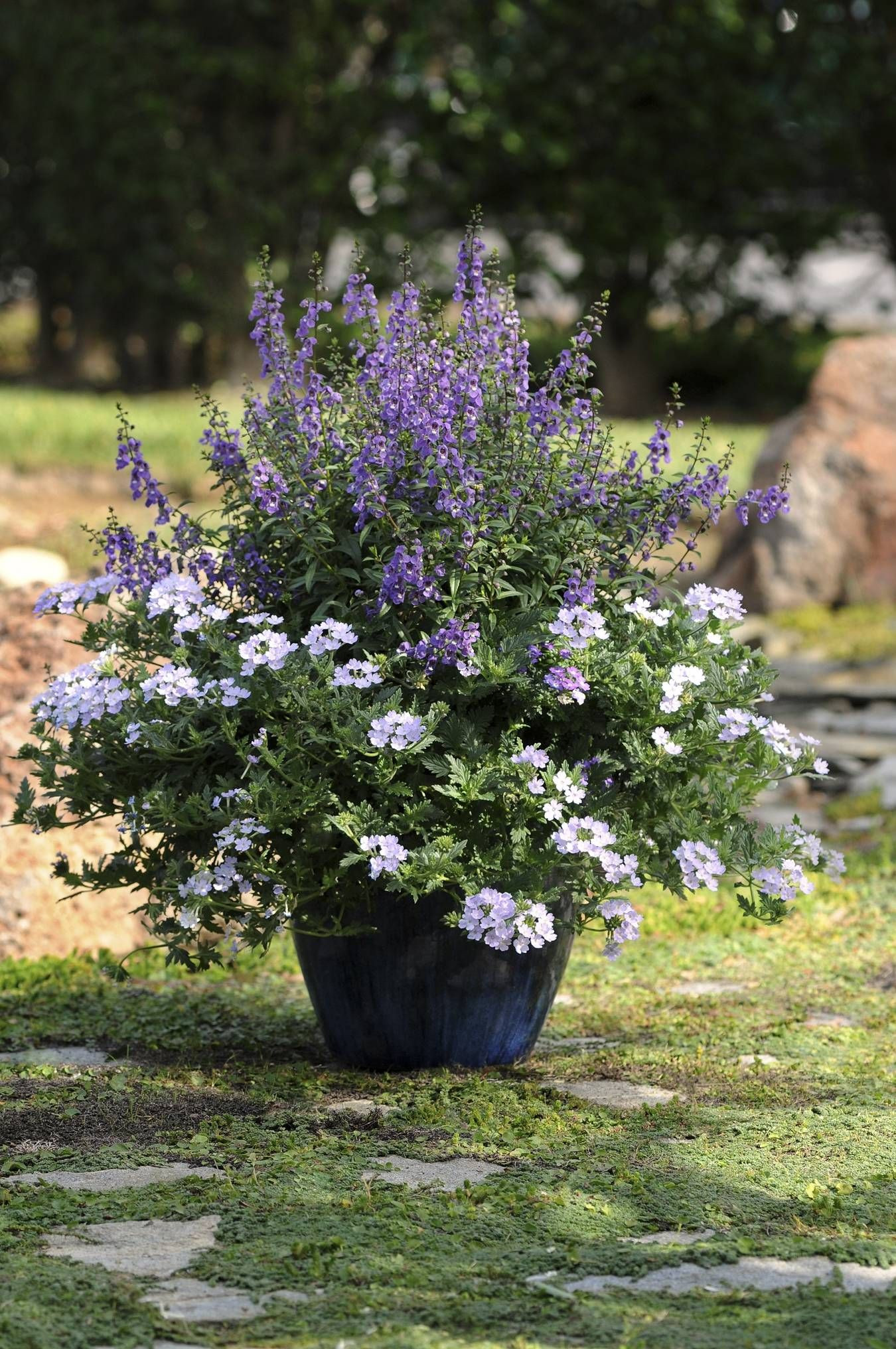 Gardeners should acquainted with this heat tolerant long lasting annual that blooms