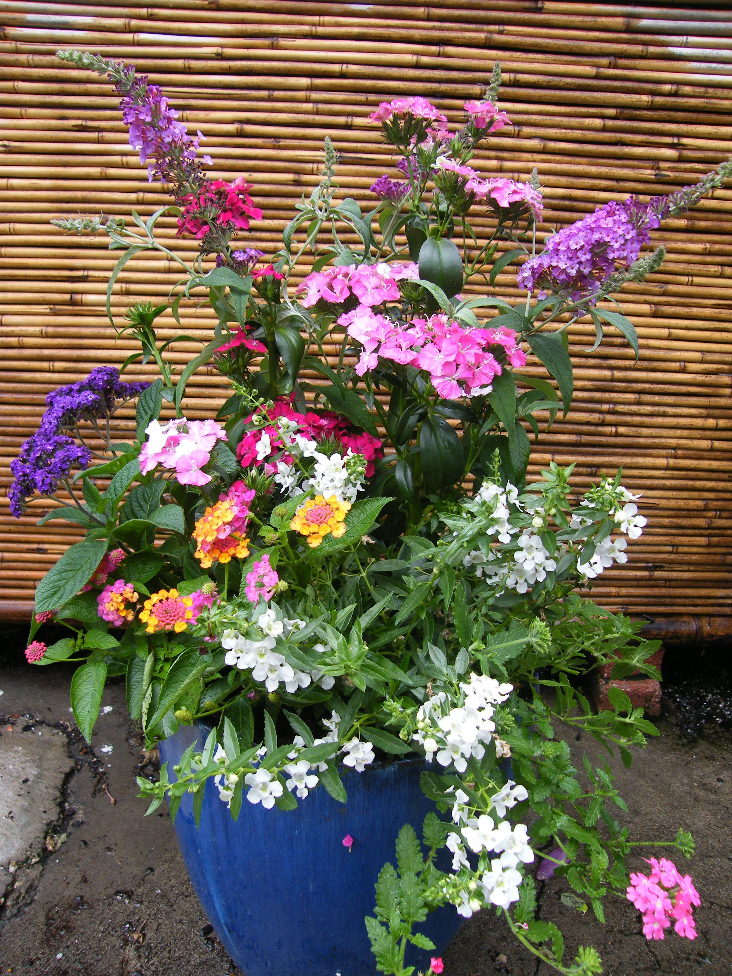 container garden with angelonia flowers Buddleia Heliotrope Lantana Dianthus Trailing Angelonia