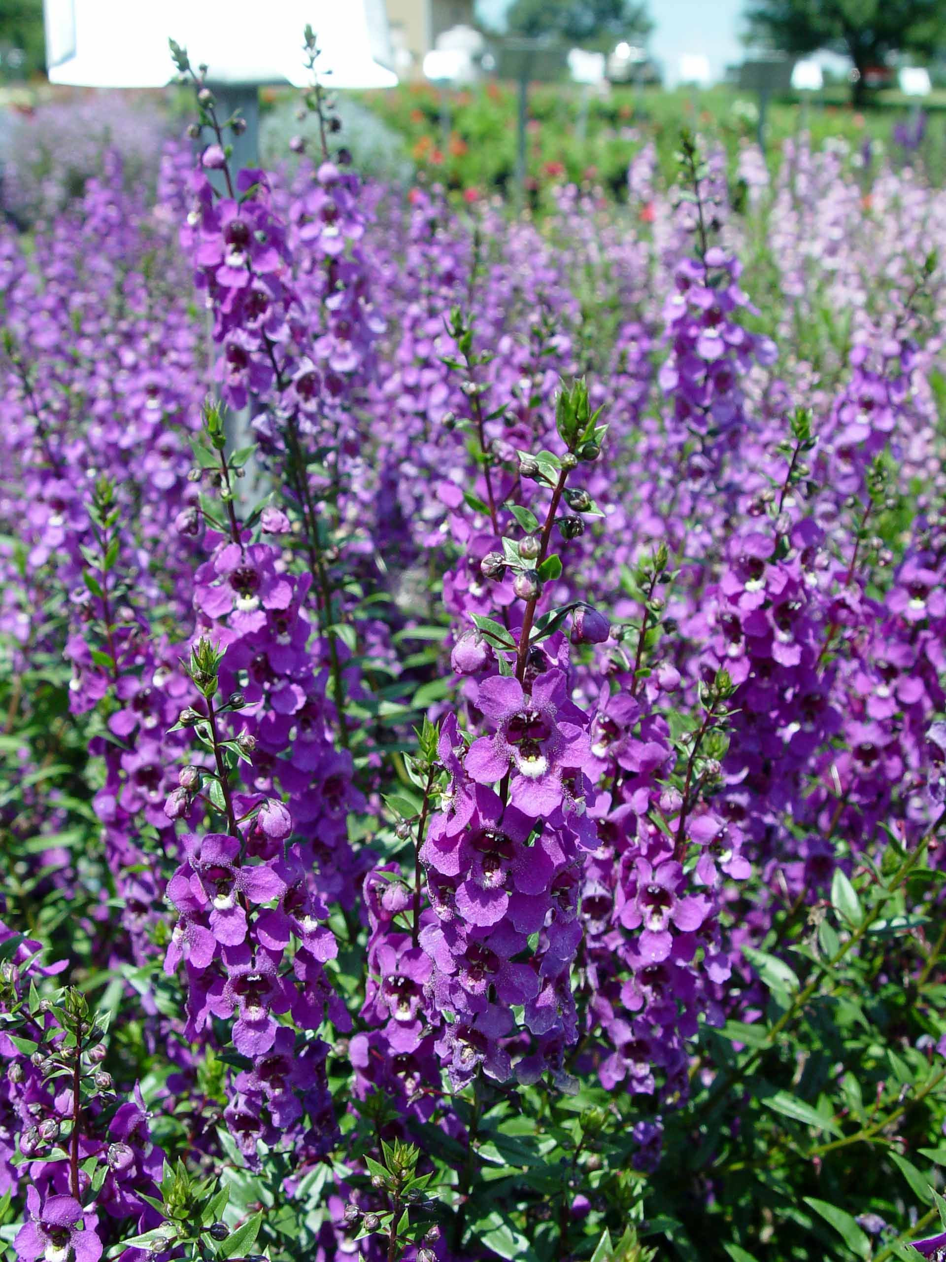 Angelonia Serena Mixed F1 The first seed grown Angelonia pretty well branched plants in a subtle range of colours Description from johatool tumblr