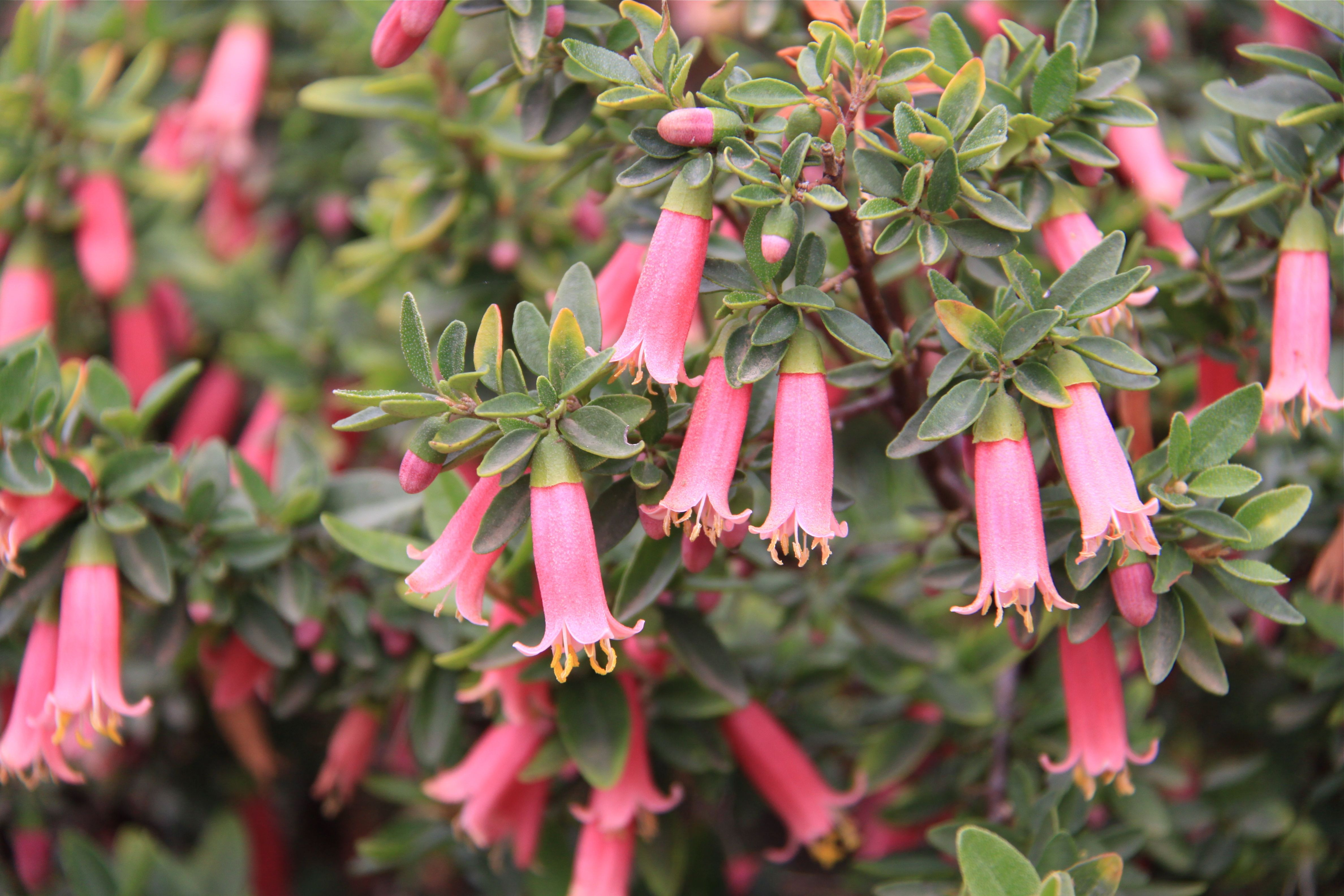 An evergreen dwarf shrub with a pact form and many flowers Moderately good drought wind and paction tolerance Semi shade to full sun