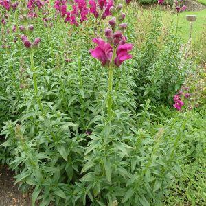 Antirrhinum Majus Flower Beautiful Hledk VětÅ¡ – Wikipe