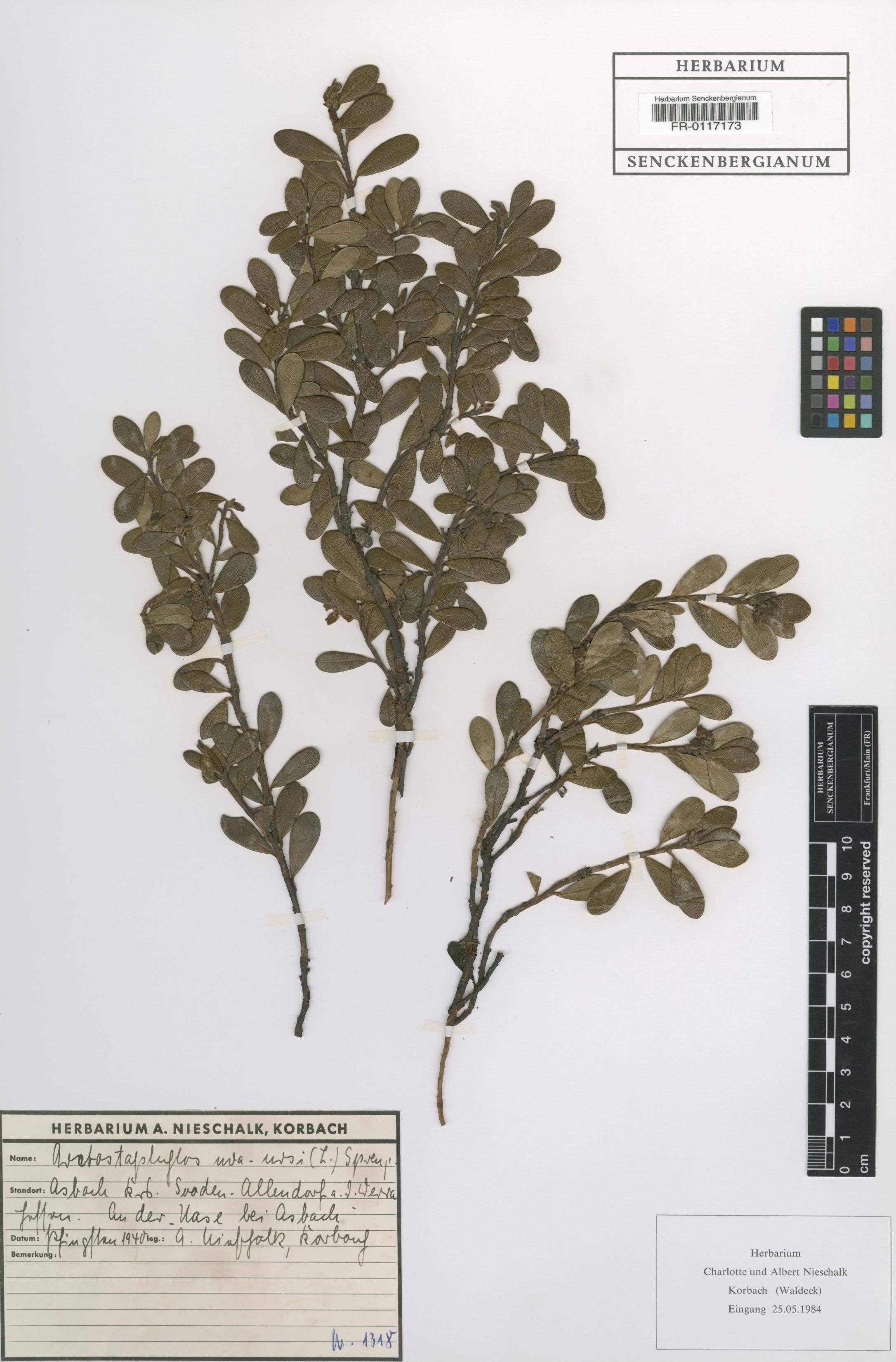 Arctostaphylos uva ursi Beleg © FR