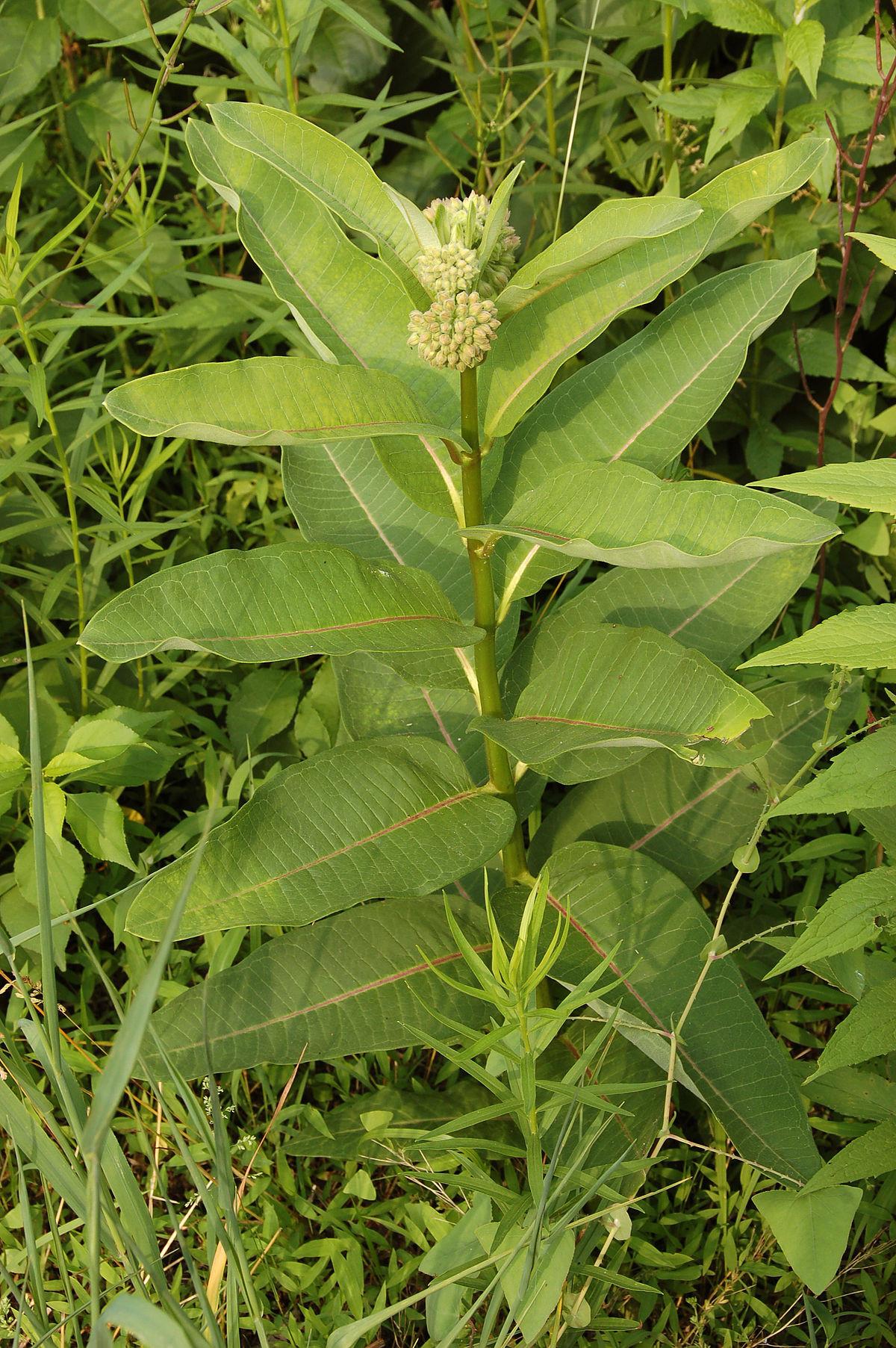 1200px mon Milkweed Asclepias syriaca Plant 2000px