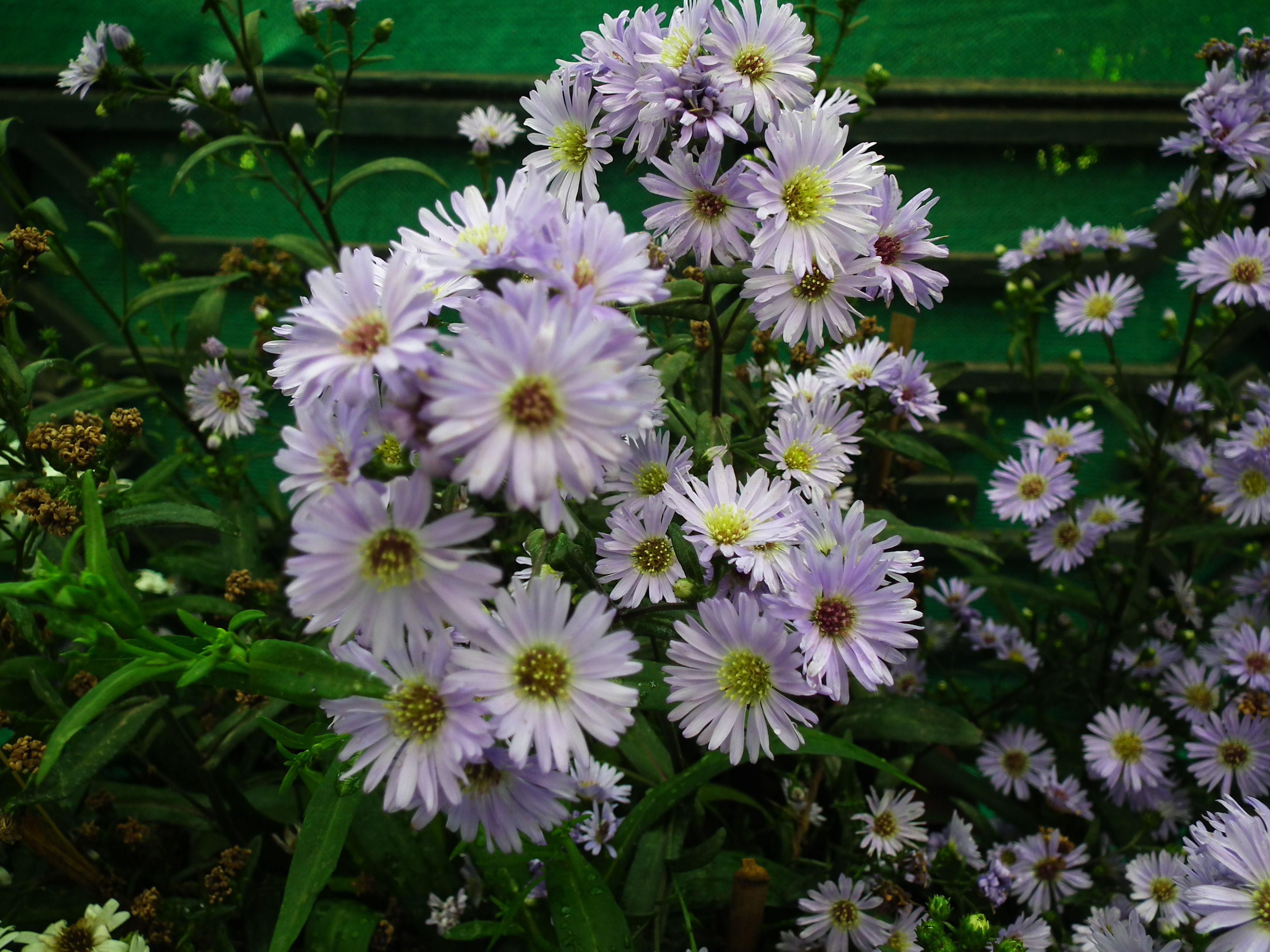 File Michaelmas daisy or Aster amellus from Lalbagh Flowershow August 2012 4718 JPG