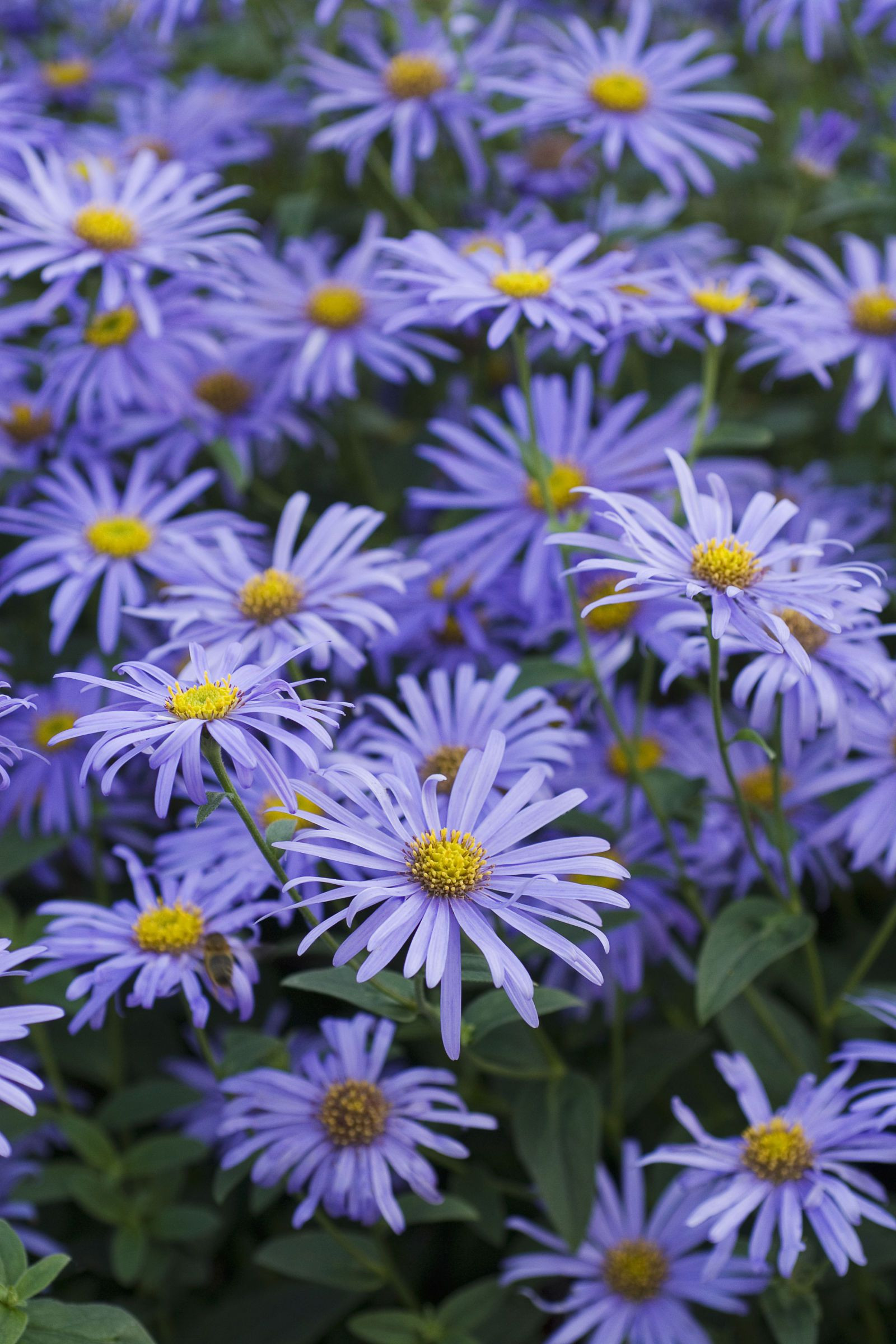 Asters As September s birth flower asters represent love and patience The star like blooms add splashes of purple pink and violet toward the end of