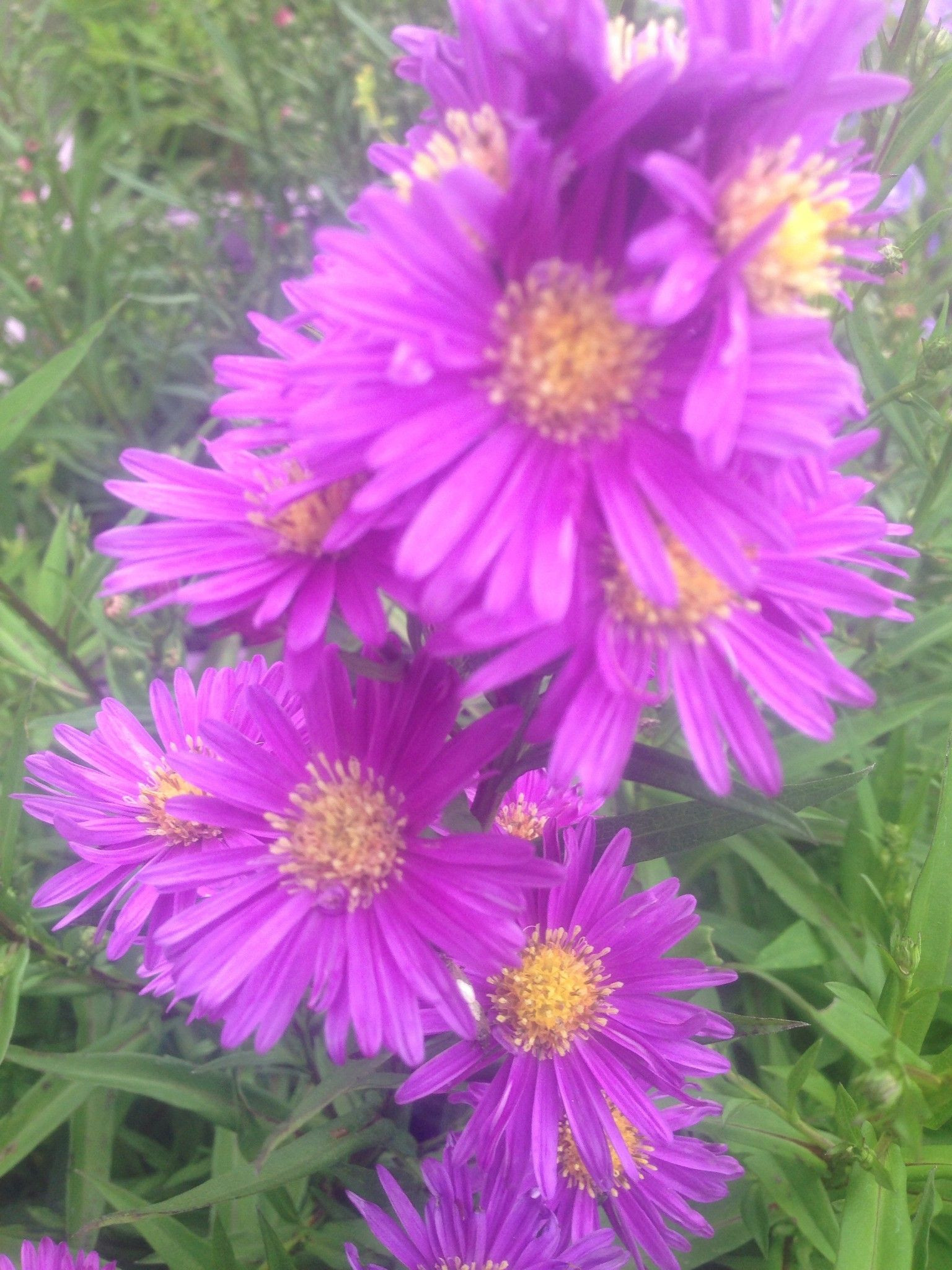 ASTER erica