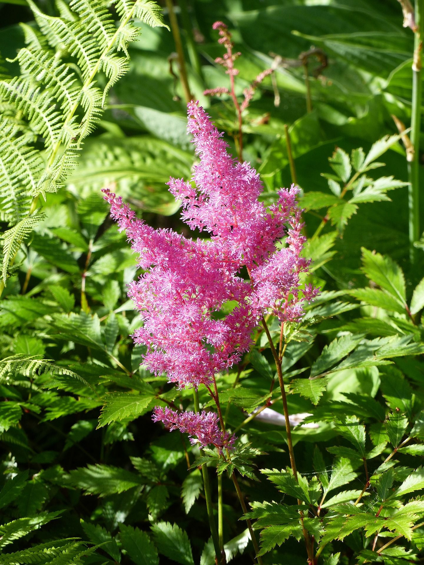 Learn how to plant grow and care for astilbe flowers with this garden guide from The Old Farmer s Almanac