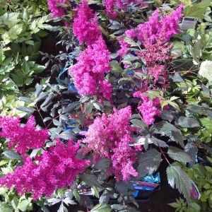 Astilbe Flower Luxury astilbe Visions This Zone 4 Perennial is A Great Mid Layer for