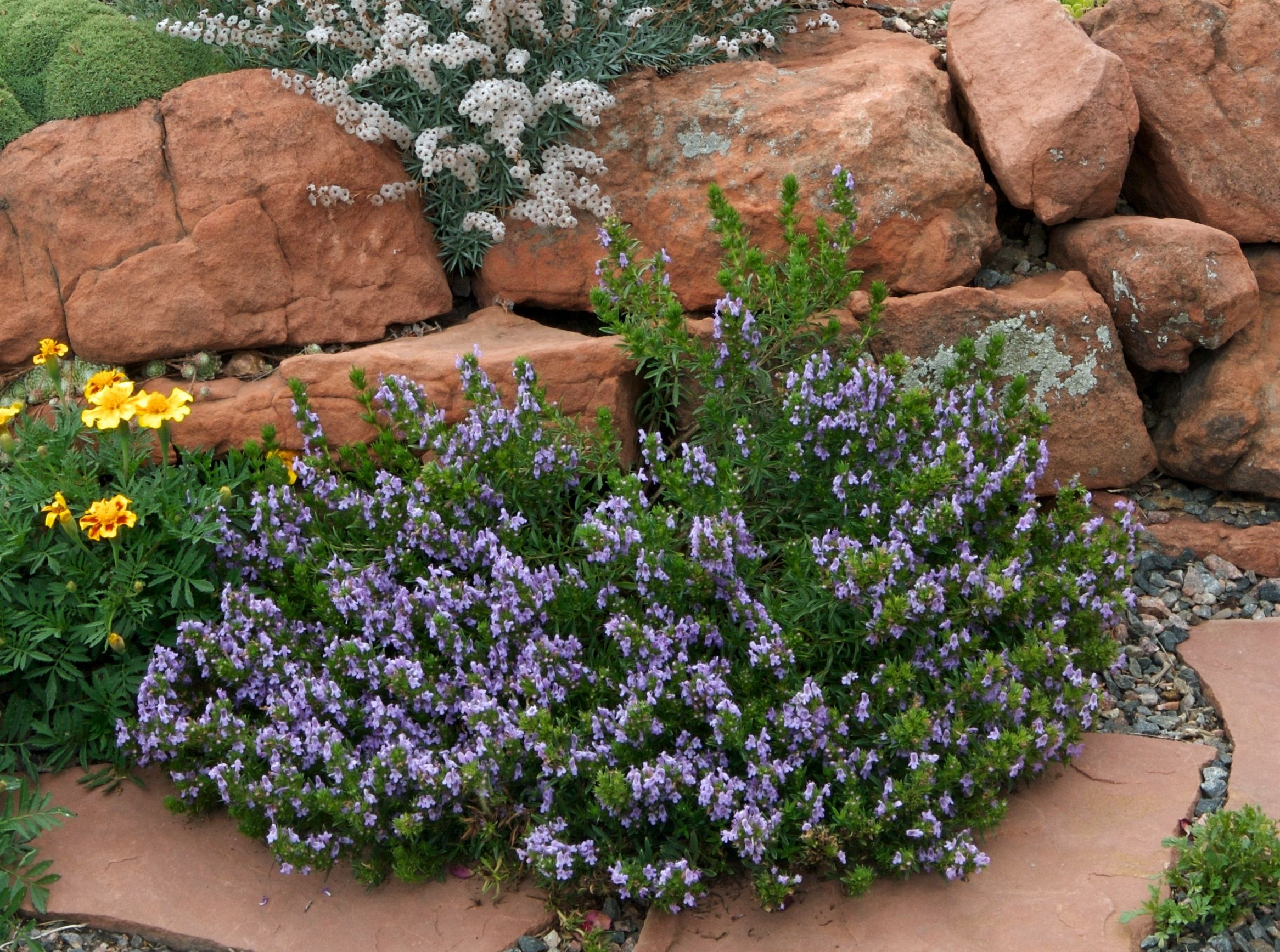 Purple winter savory Small mounding habit tolerates a variety of soils blooms late in the year August through November