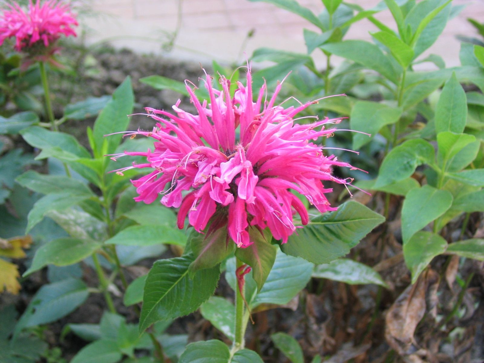 pink and red bee balm looks like mine as spread nicely