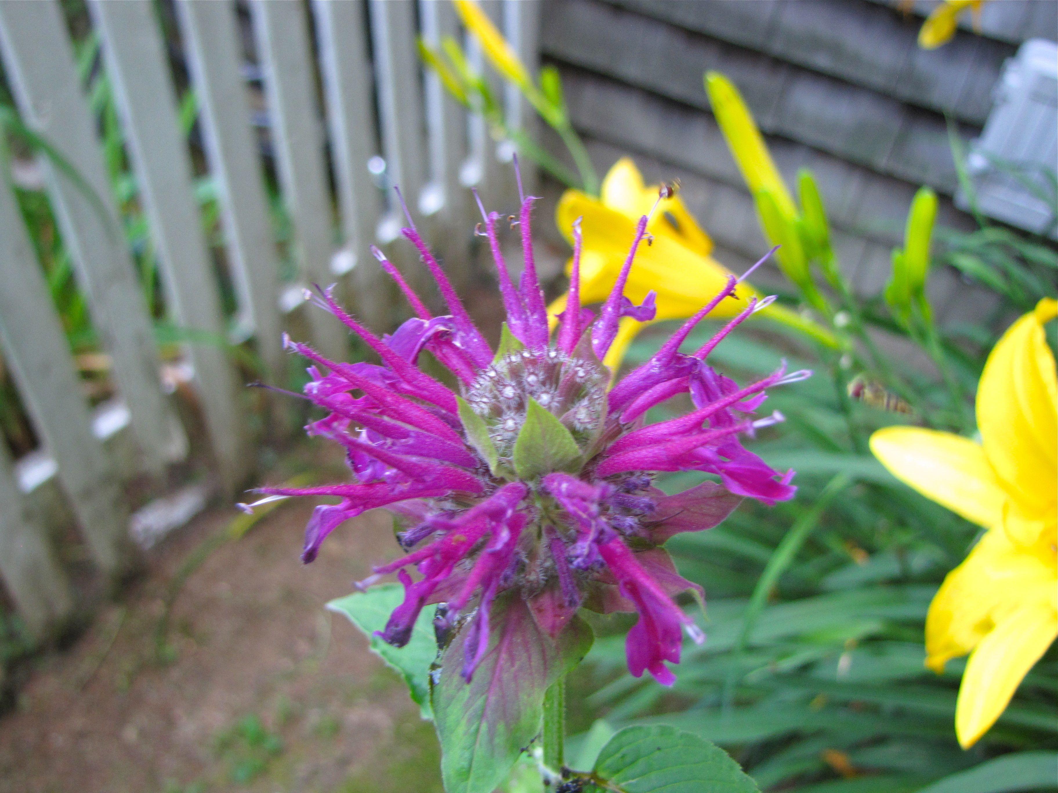 Ornamental Purple Bee Balm Front Garden summer