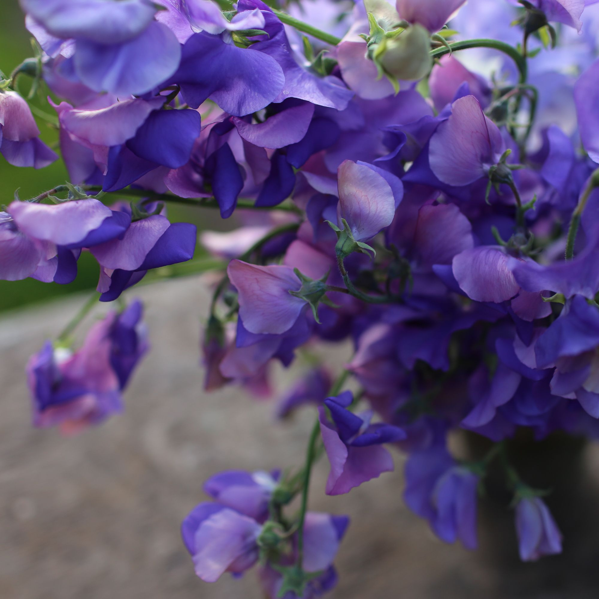 Image result for sweet peas flower