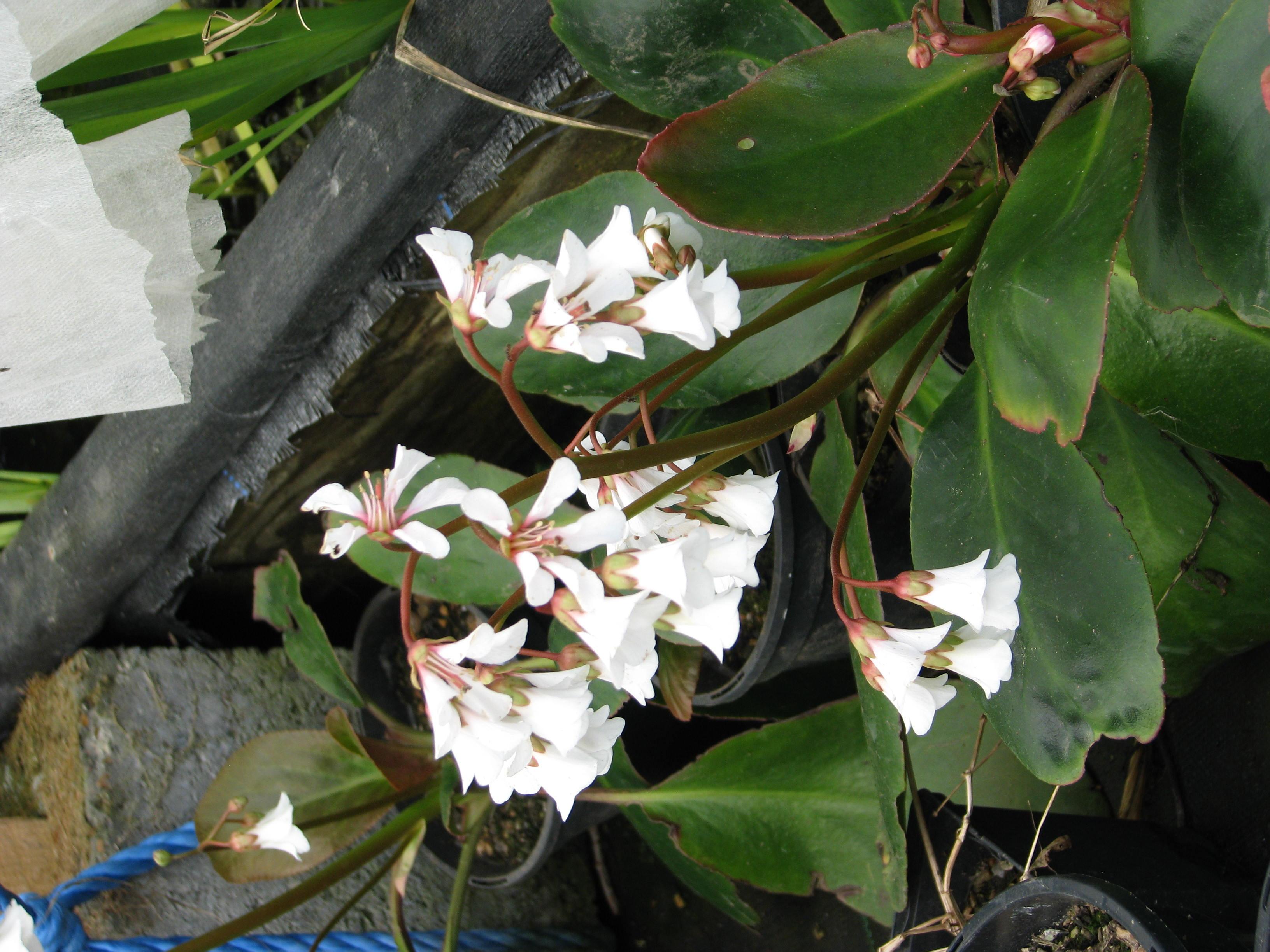 File Bergenia emeiensis