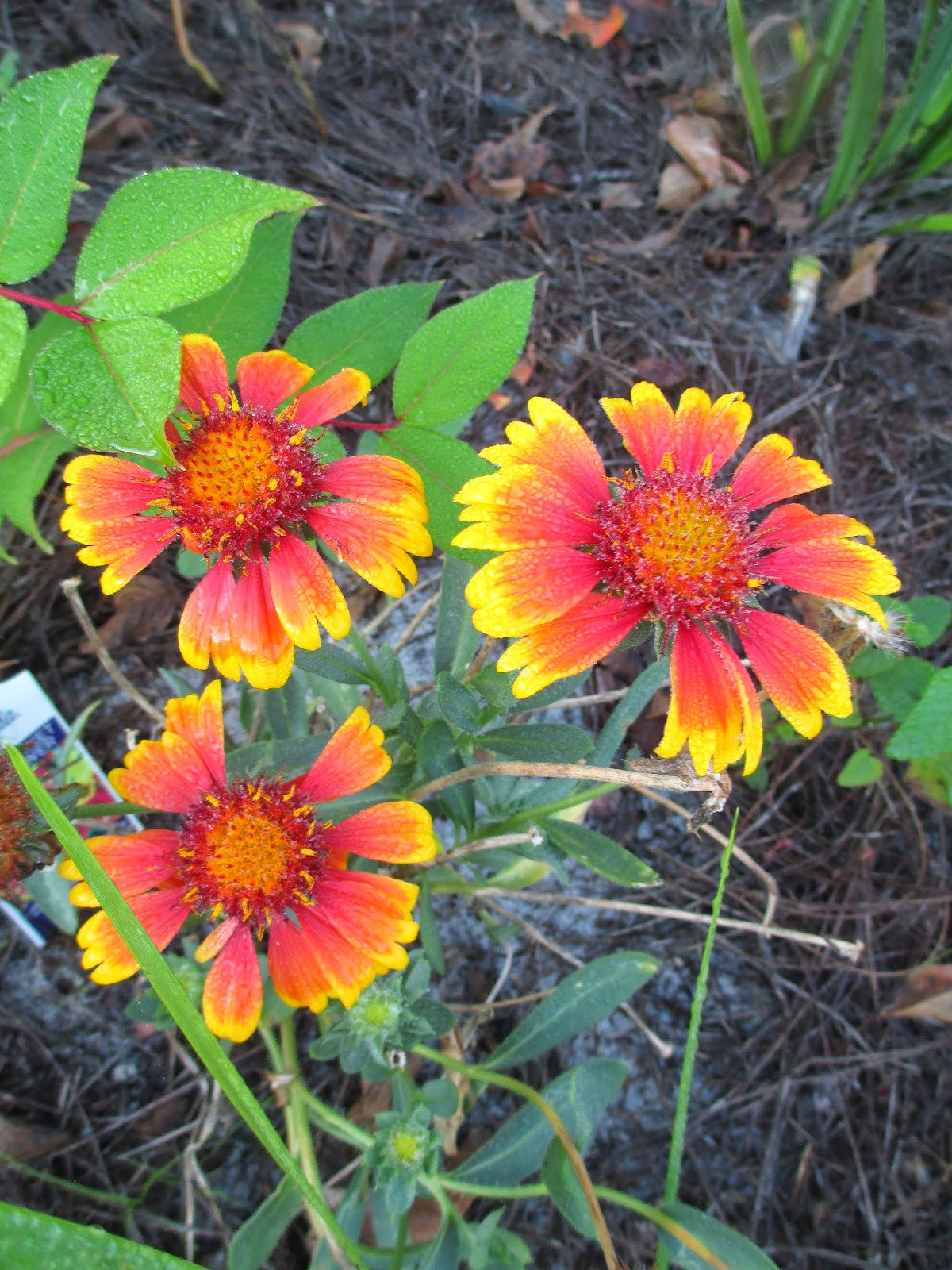 Blanketflower is a sun loving annual that grows well in zones 3 11 Its brilliant red orange and yellow blooms are reminiscent of a beautiful watercolor