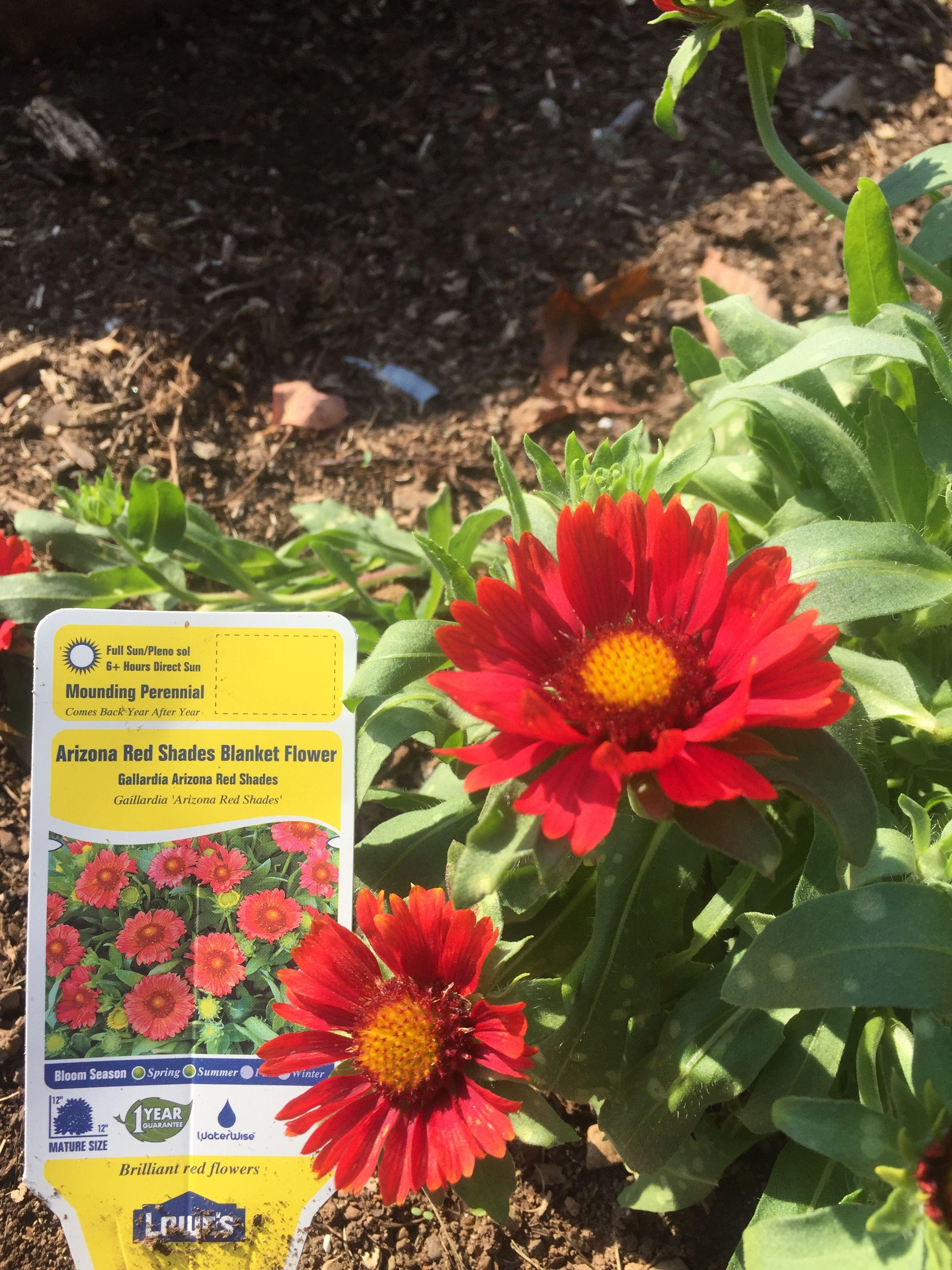 Edible FlowersBachelor ButtonsTall PlantsFlower GardeningDrought TolerantPlantingSeedsBowls