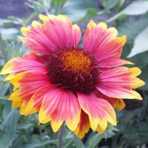 Blanket Flower Luxury July 8 2017 Gaillardia Blanketflower Perennial Bloom