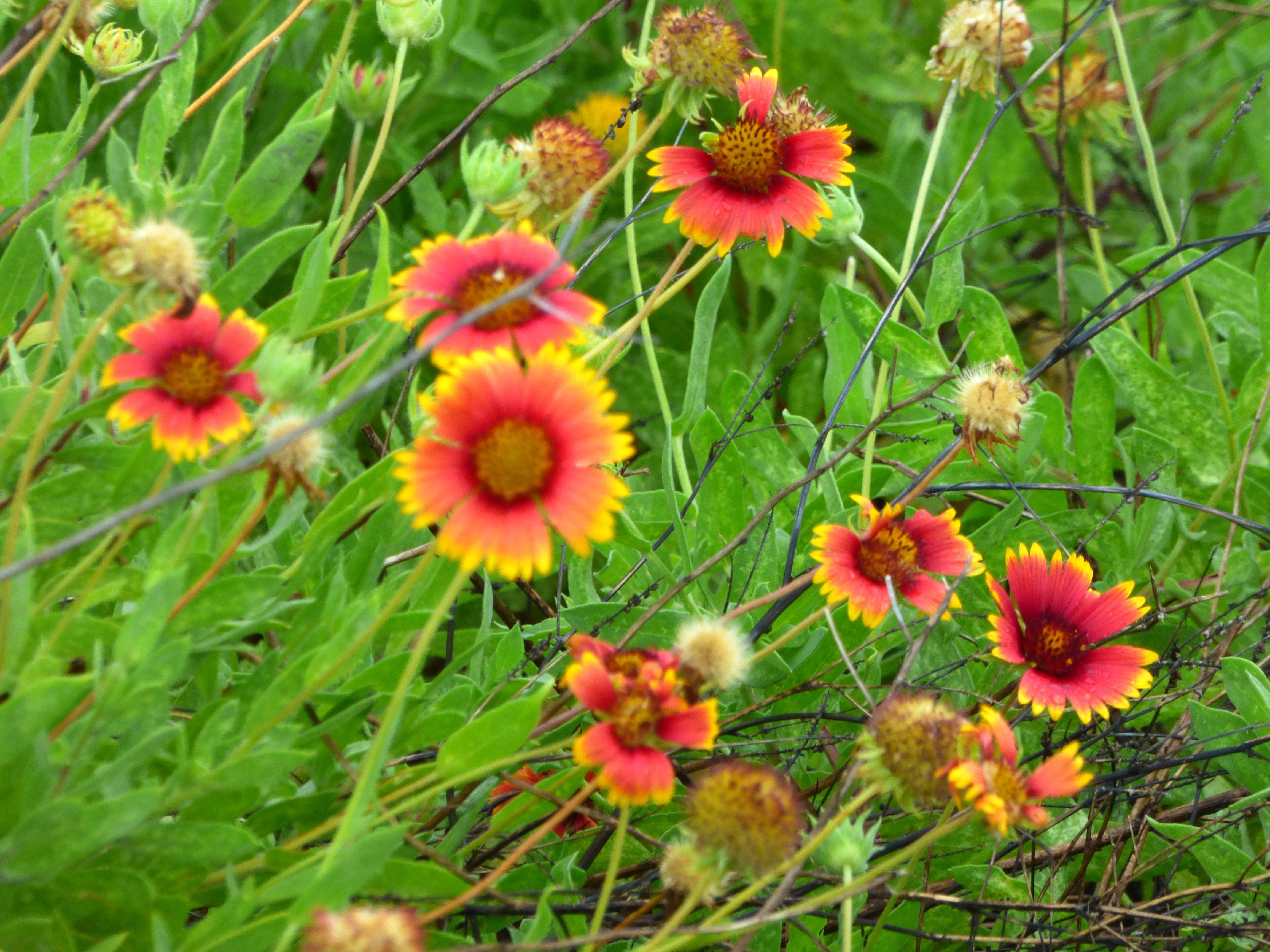 Blanket flowers growing wild