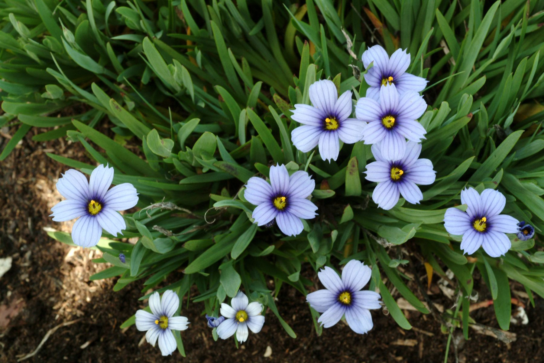 Devon Skies Blue Eyed Grass Monrovia Devon Skies Blue Eyed Grass