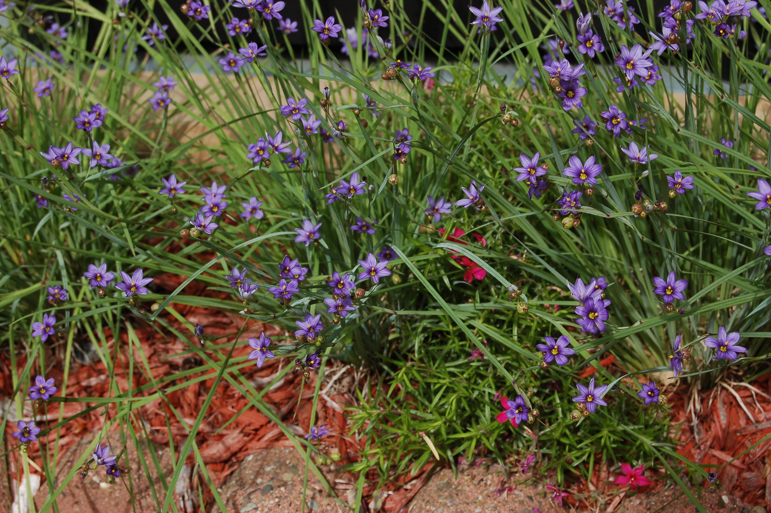 Blue eyed grass Sisyrinchium isn t really a grass This North
