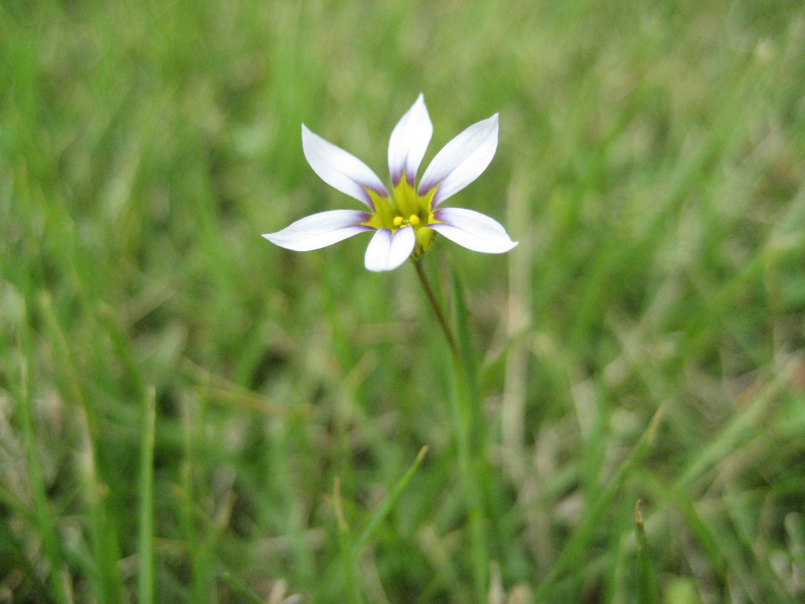 White Blue eyed grass Sisyrinchium Albidum gspot