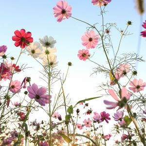 Blue Star Flower Flower Luxury Cosmos Flower with Blue Sky by Yen Hung Lin