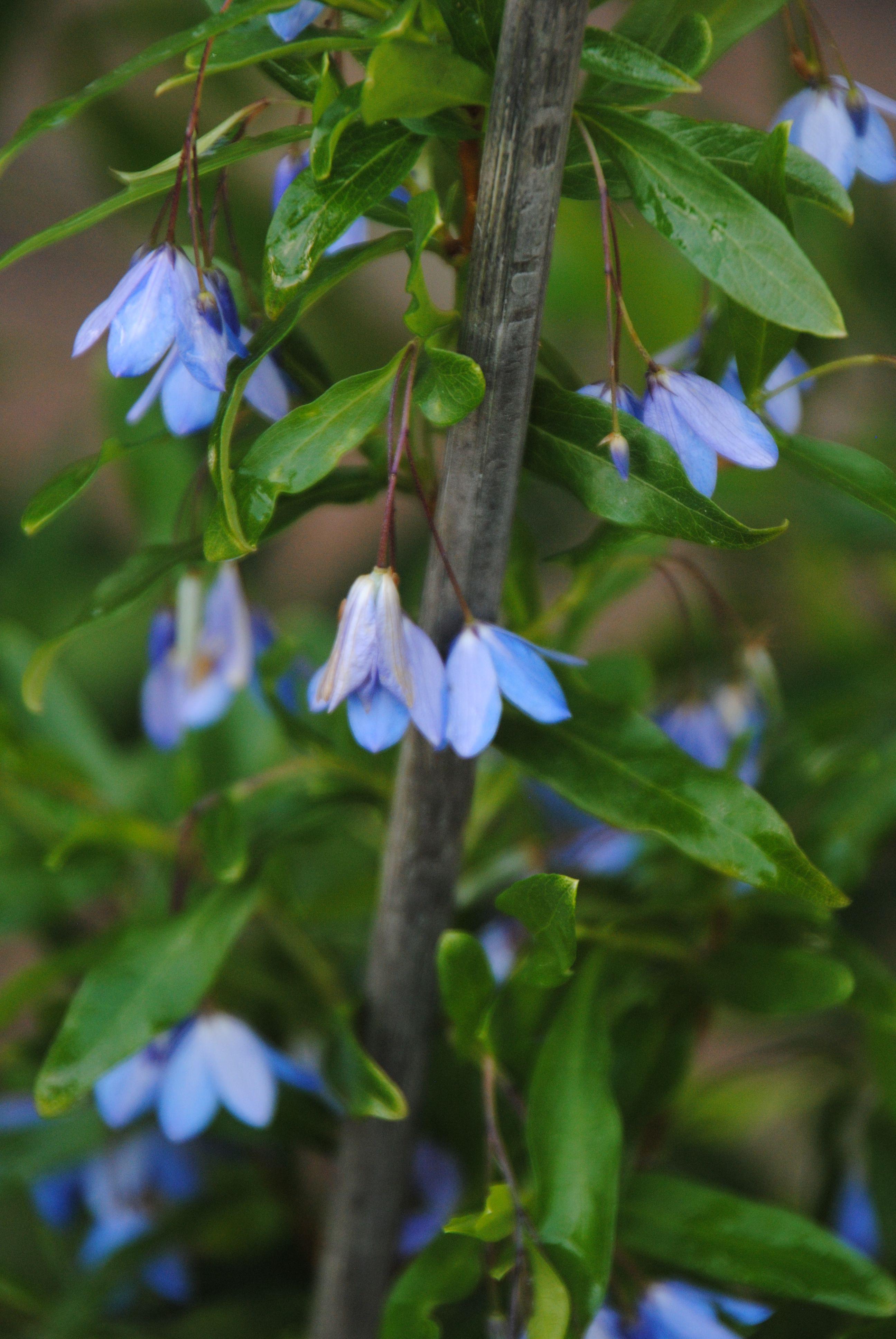Sollya heterophylla Bluebell creeper