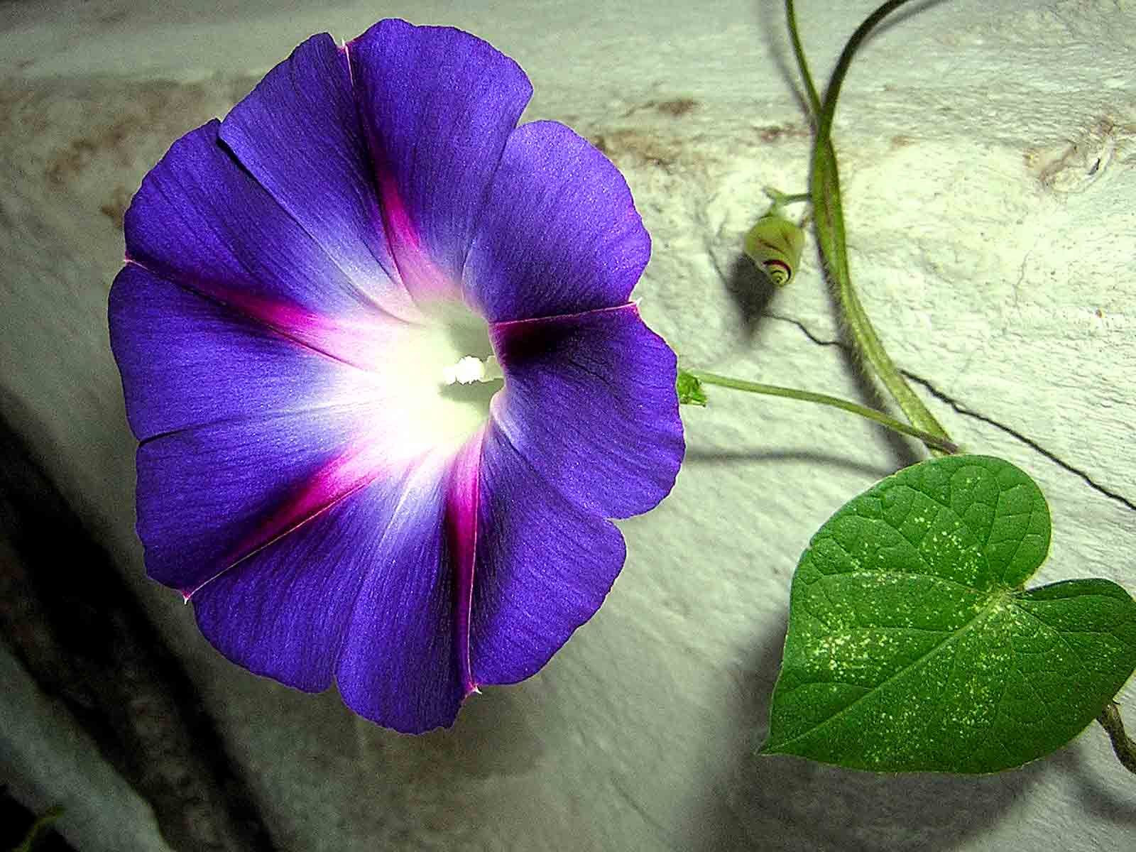 ipomoea morning glory