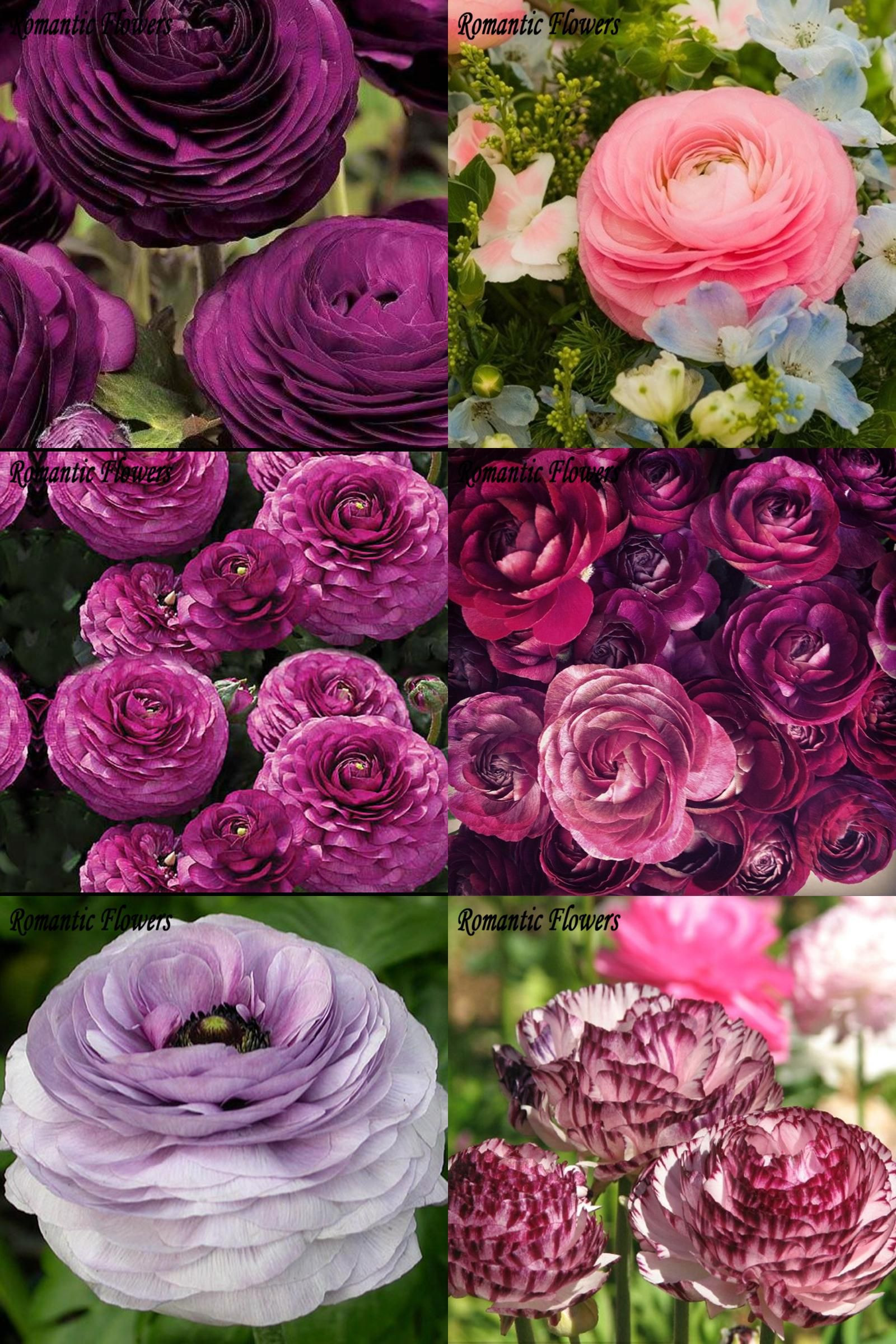 [Visit to Buy] 100pcs Rouge Ranunculus Flower Seeds Home DIY Persian Buttercup Plant