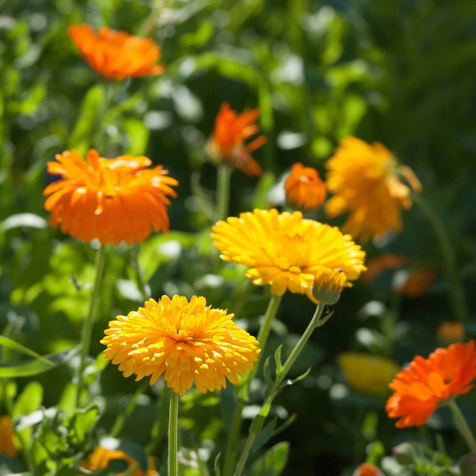 Seeds Calendula Flower bon Bon Series mix 1000 Seed Annual Garden