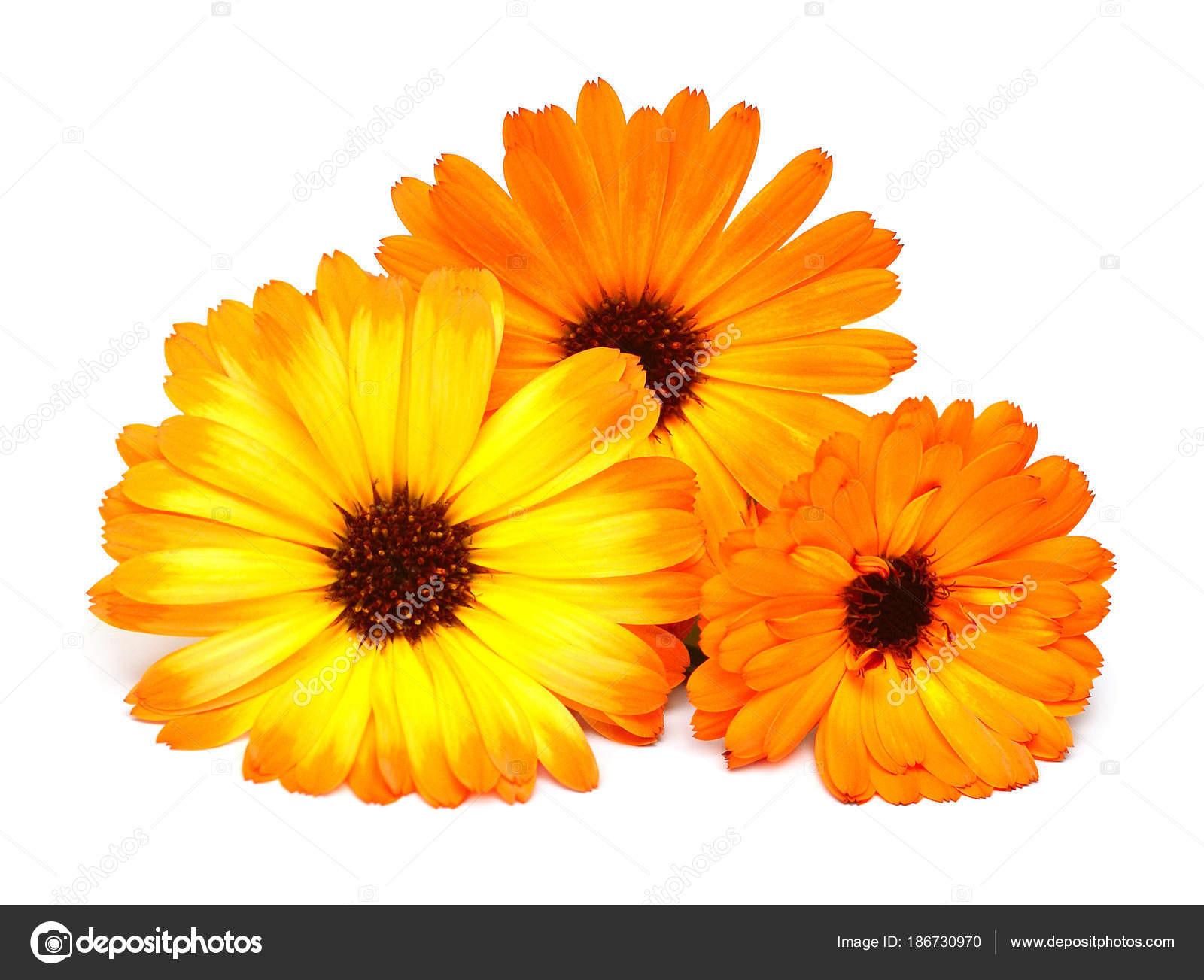 Kwiaty z calendula officinalis bukiet z liści na białym tle na białym tle Nagietki rośliny lecznicze Złote płatki — Zdjęcie od FlowerStudio