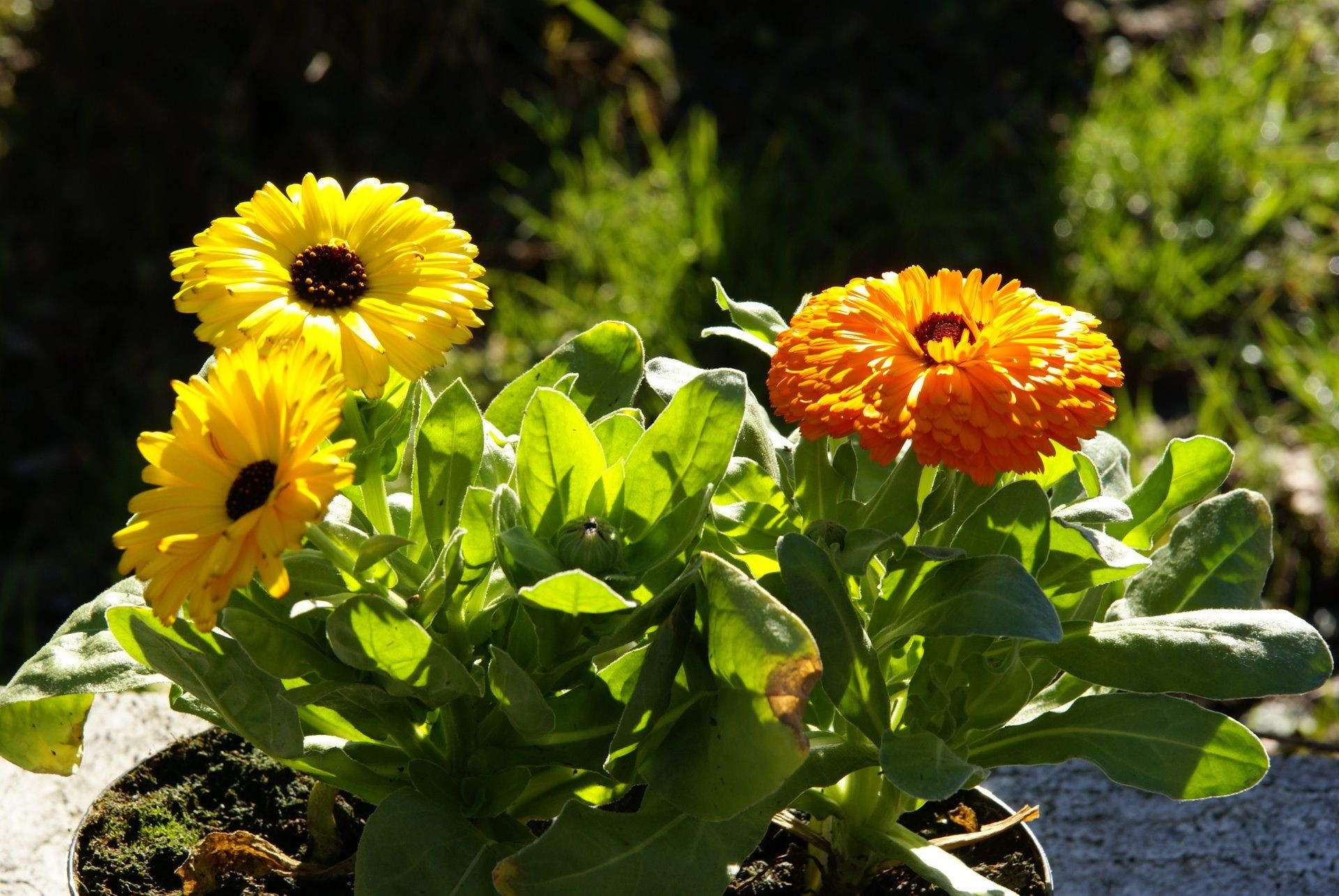 Calendula officinalis Pot Marigold all parts edible