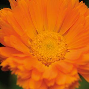 Calendula Officinalis Flower Unique Marigold – Calendula Officinalis the Sun Like Marigold is One Of