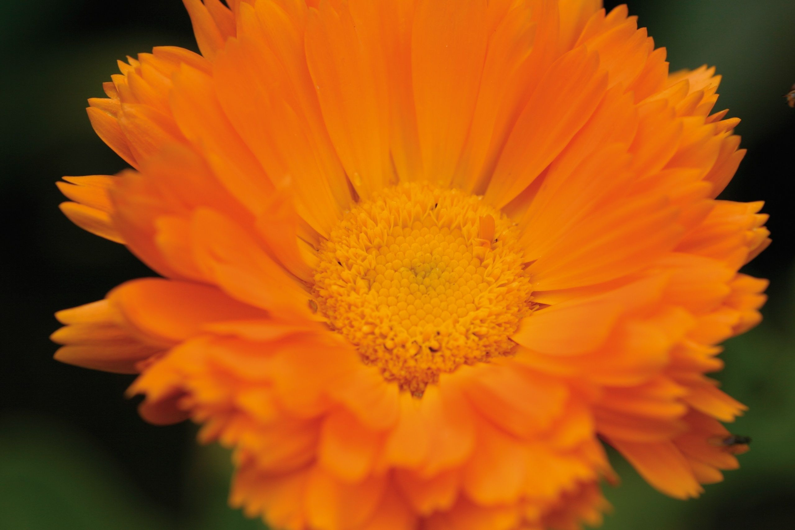 Marigold – Calendula officinalis The sun like marigold is one of the best wound