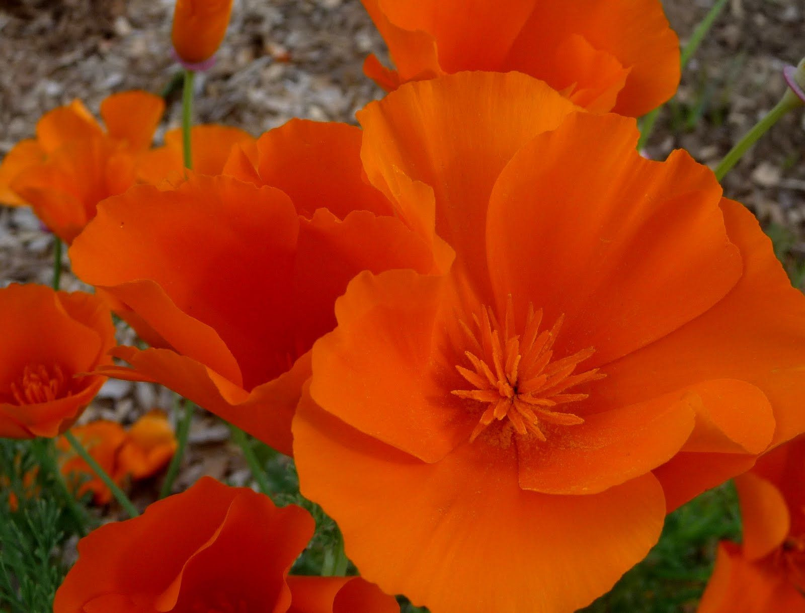 California CooL California Poppies Eschsholtzia californica is California s State Flower It became the state flower in 1903