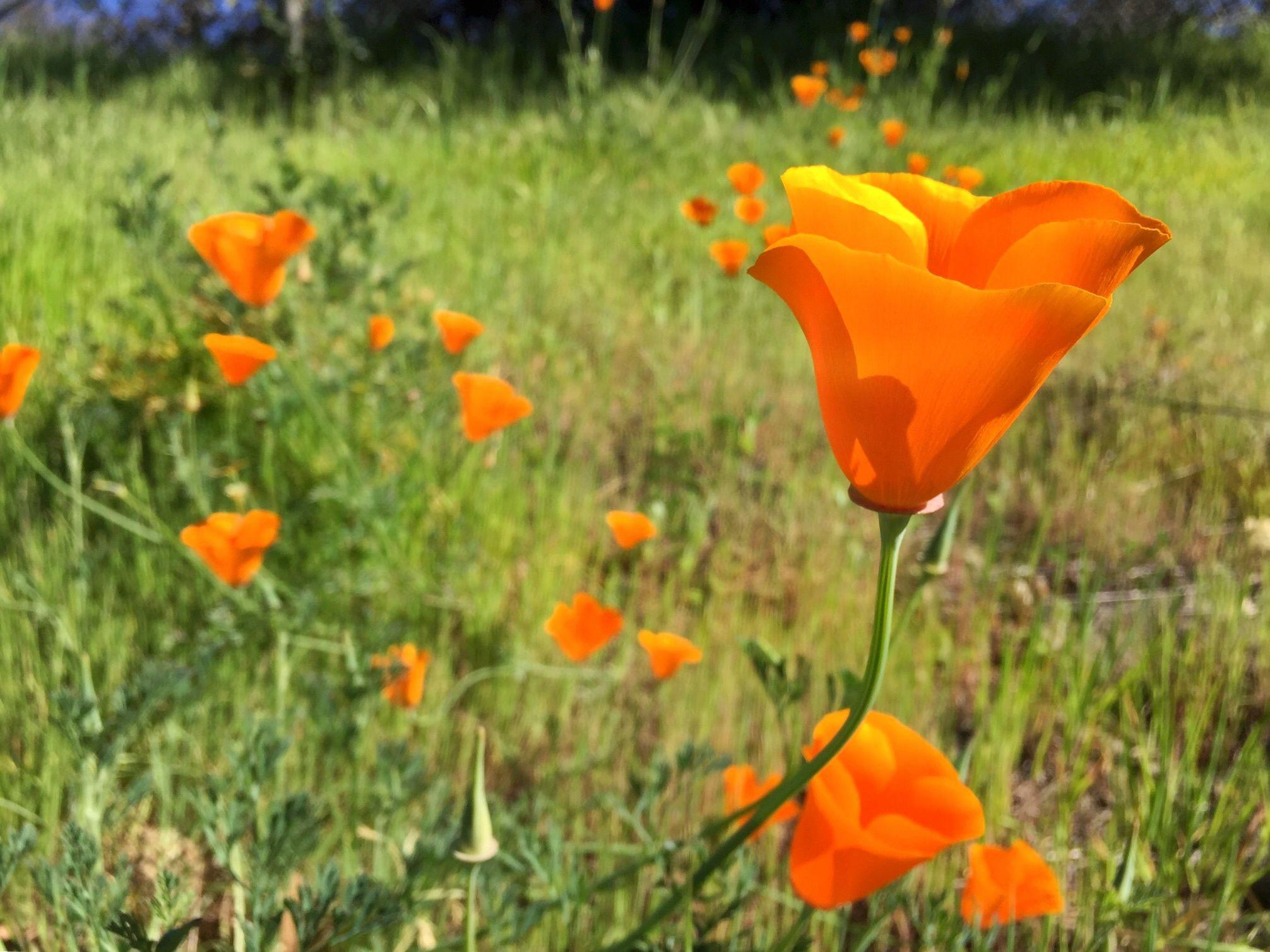 California Poppy 2 16 2018