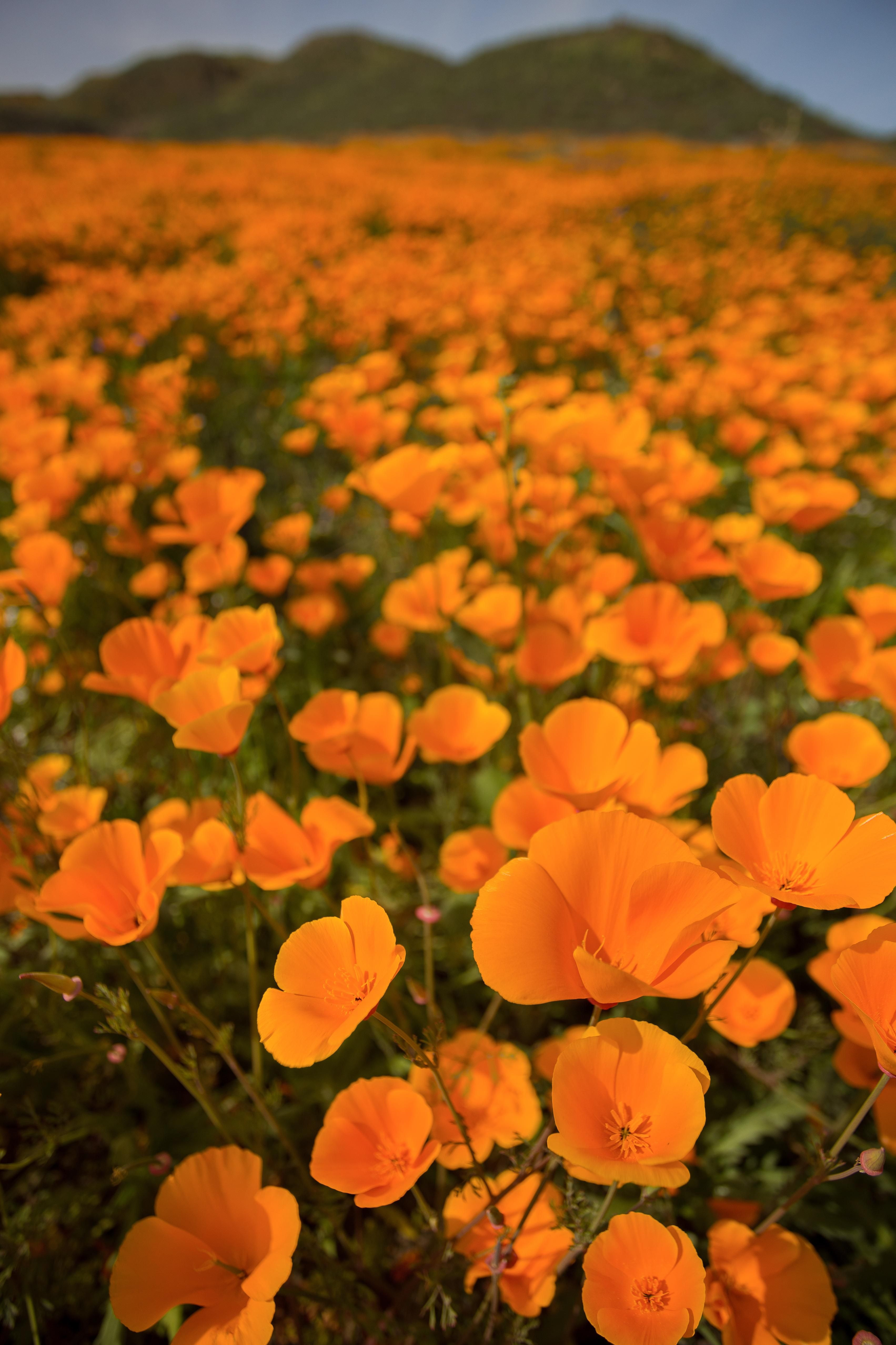 California Poppies are Blooming due to the rain Lake Elsinore CA [3406x5109]