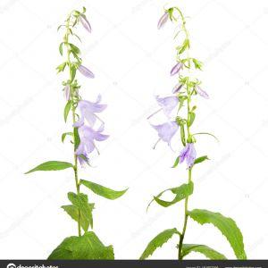 Campanula Latifolia Flower Best Of Bellflower Olbrzymie Campanula Latifolia Na Białym Tle — Zdjęcie