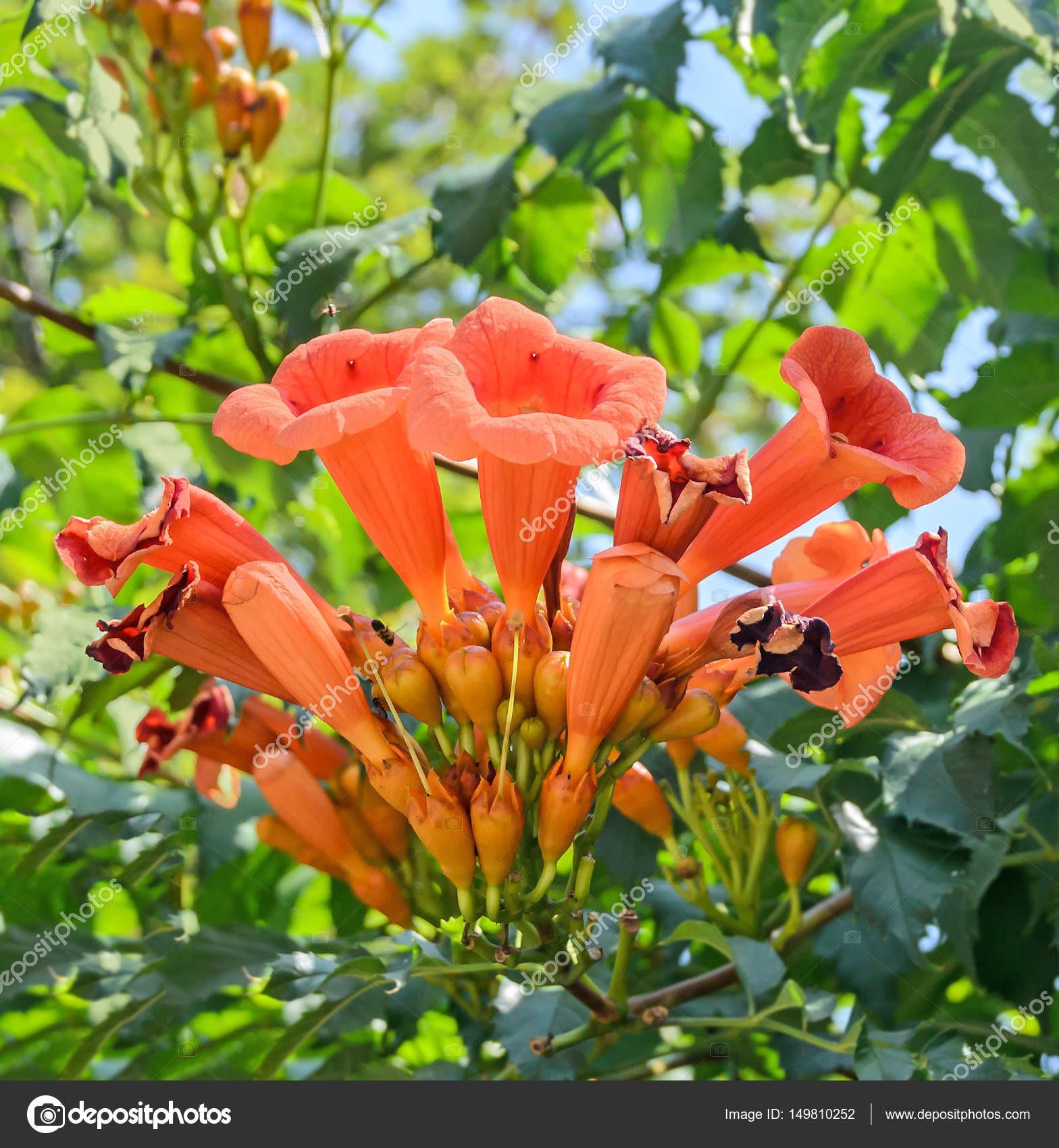 Milin radicans kwiaty trąbka winorośli lub trąbka pnącze r³wnież znany w Ameryce P³Å'nocnej jako winorośli swędzenia krowy lub winorośli koliber