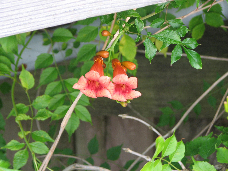 Campsis Radicans Flower Inspirational Encyclopedian Dictionary Trumpet Vine Campsis Radicans Campsis