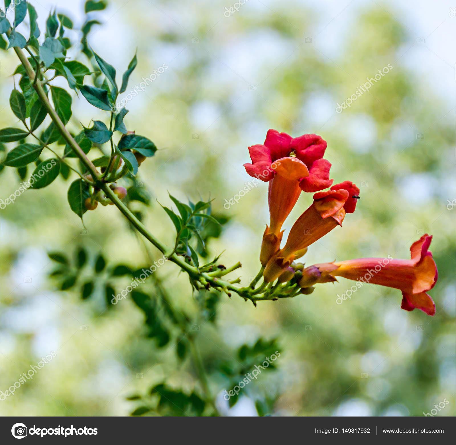 Campsis radicans flowers trumpet vine or trumpet creeper — Zdjęcie stockowe