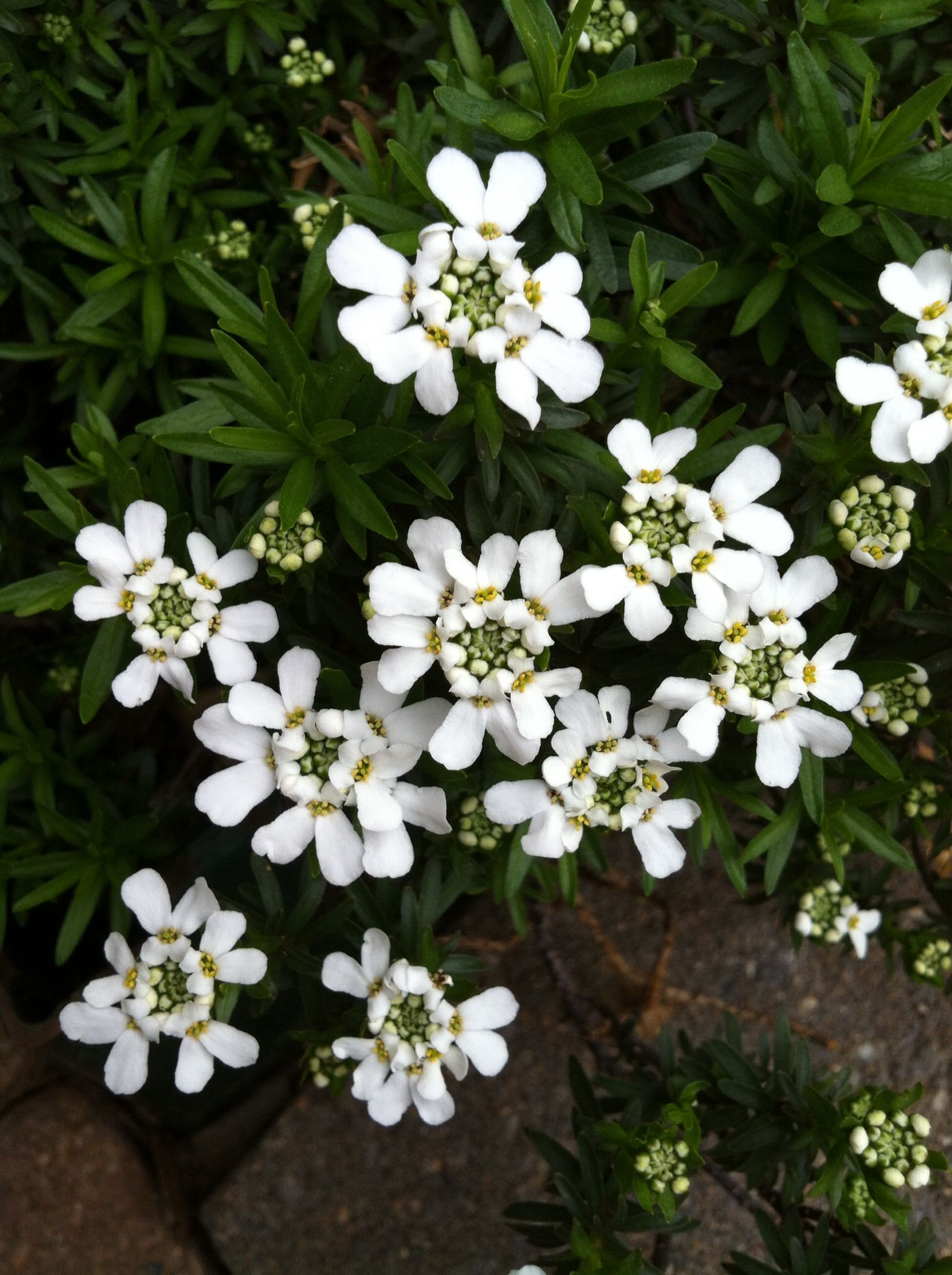 White candytuft