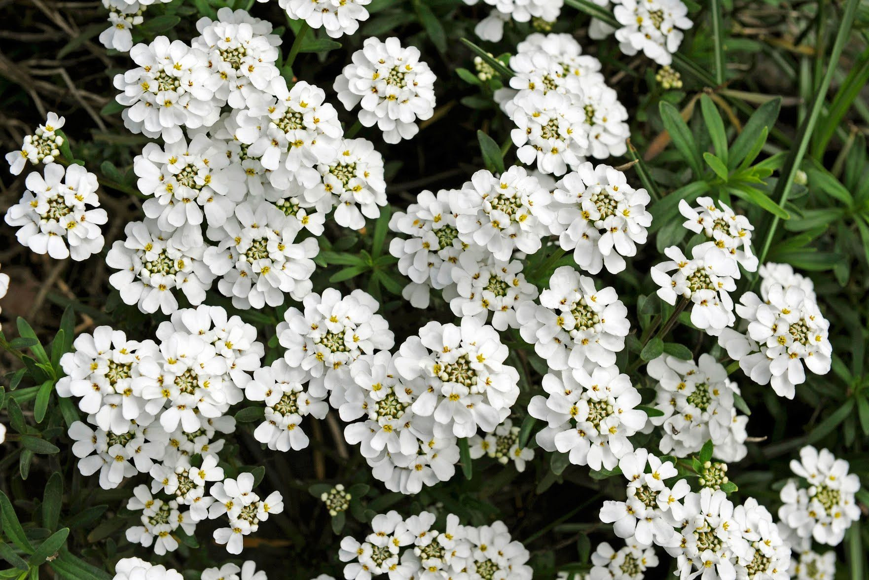 Candytuft Flower New Candytuft Иберис Pinterest