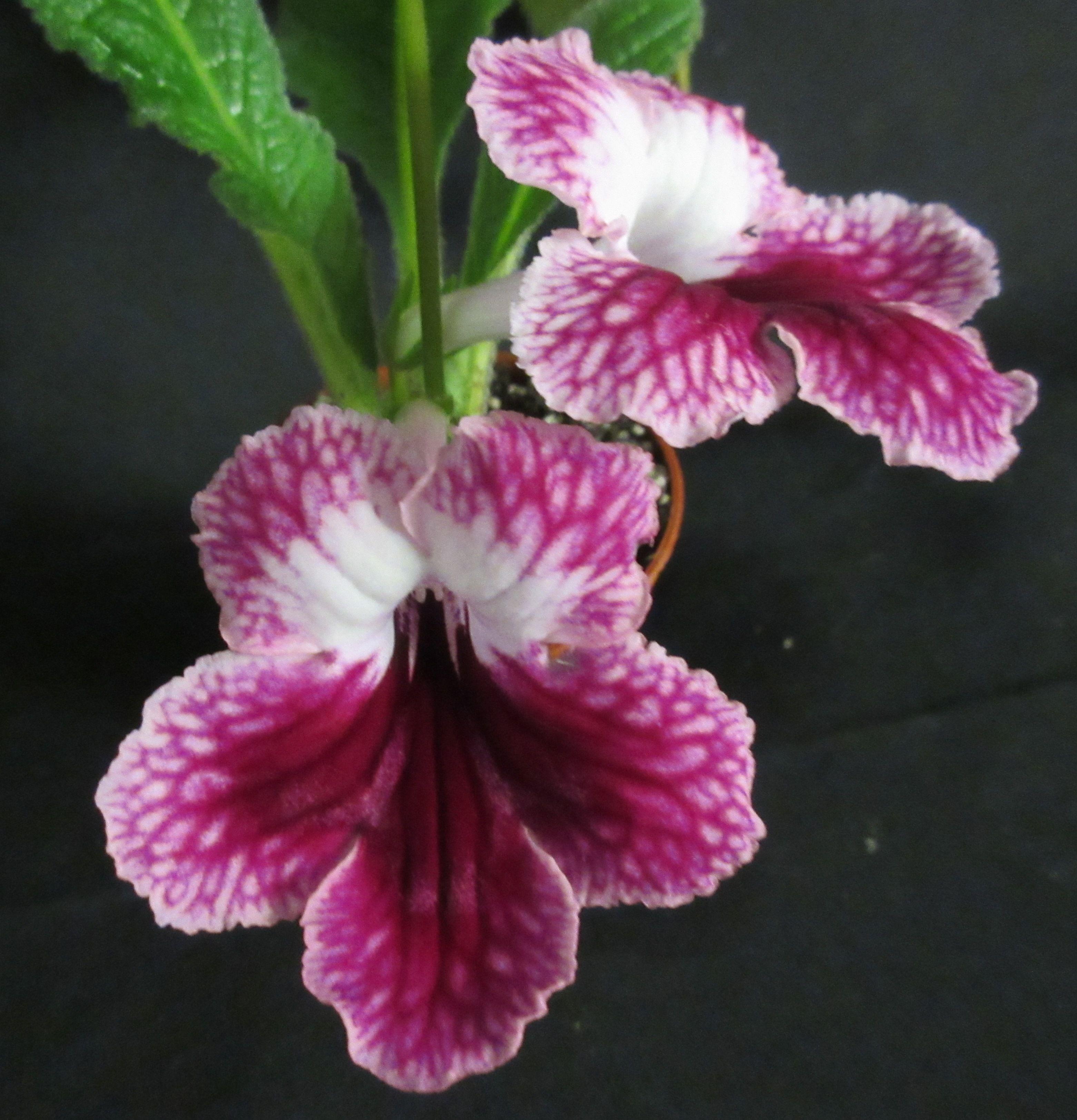 Streptocarpus Alabaster Rose AVSA africanviolet