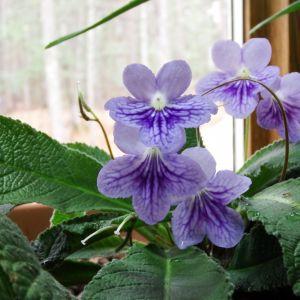 Cape Primrose Flower Luxury My Garden Window where I Am Visited by A Spirit