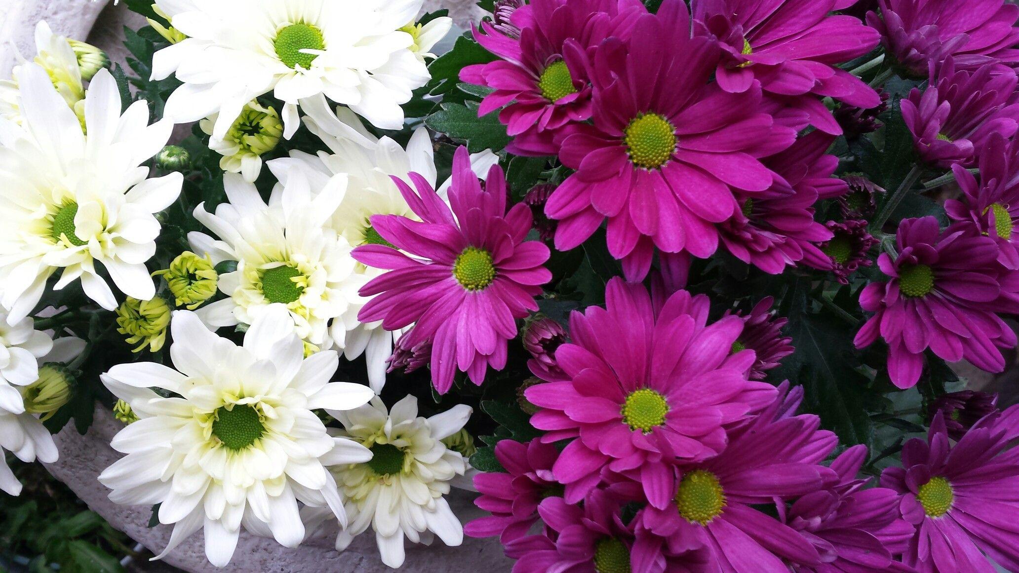 Potted Chrysanthemum plants