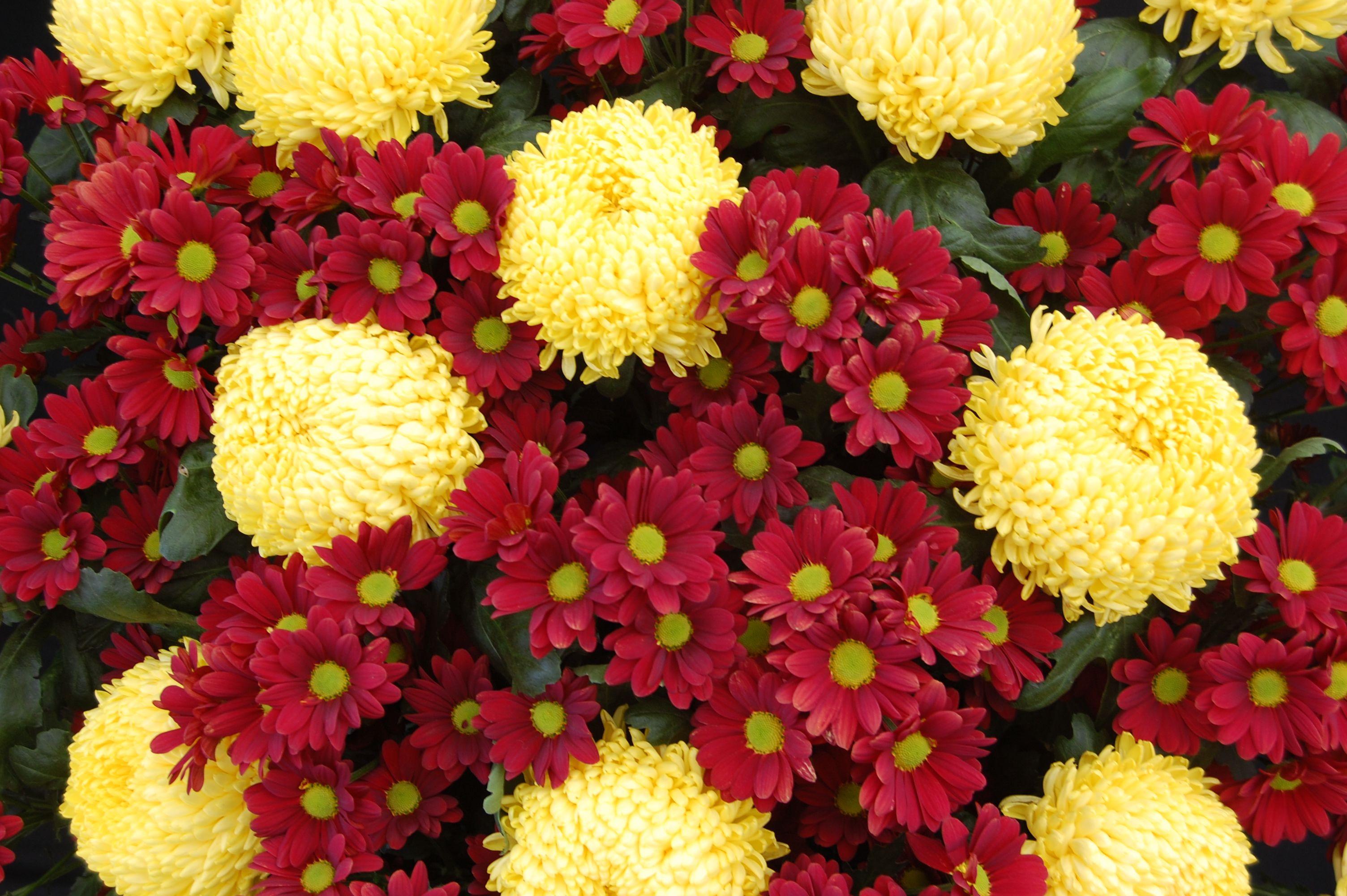 Botanical Accuracy Is oxeye daisy a Leucanthemum or a Chrysanthemum