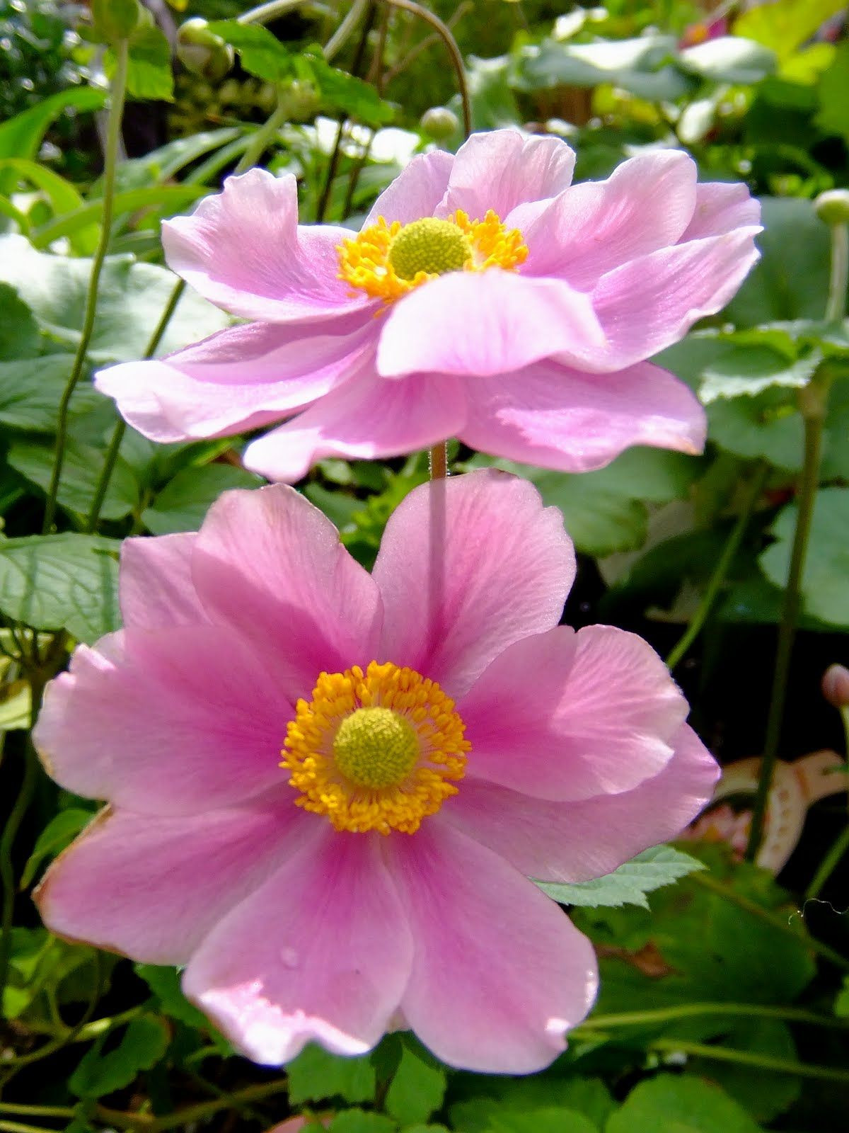 Clarkia Flower New Anemone Nature Scapes and Miracles Pinterest