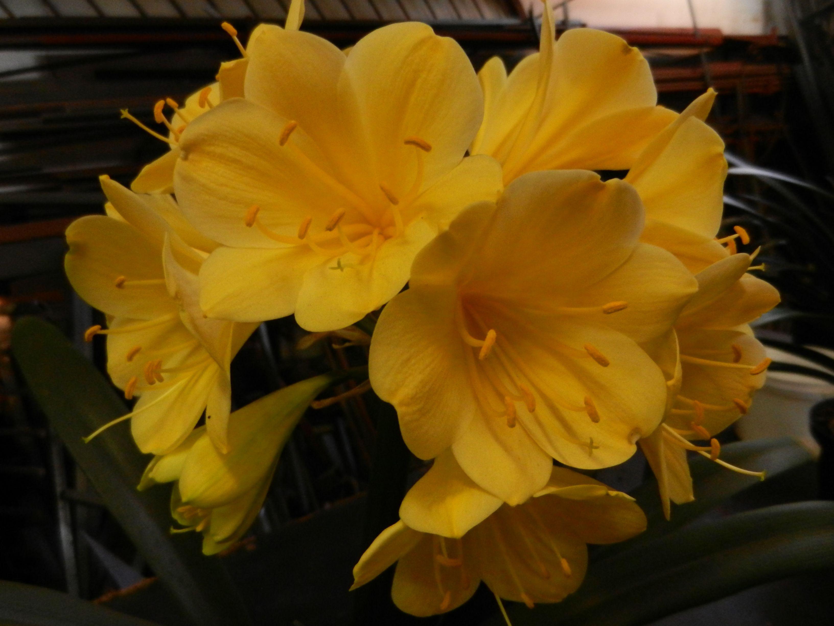 """Clivia miniata """"Gold"""